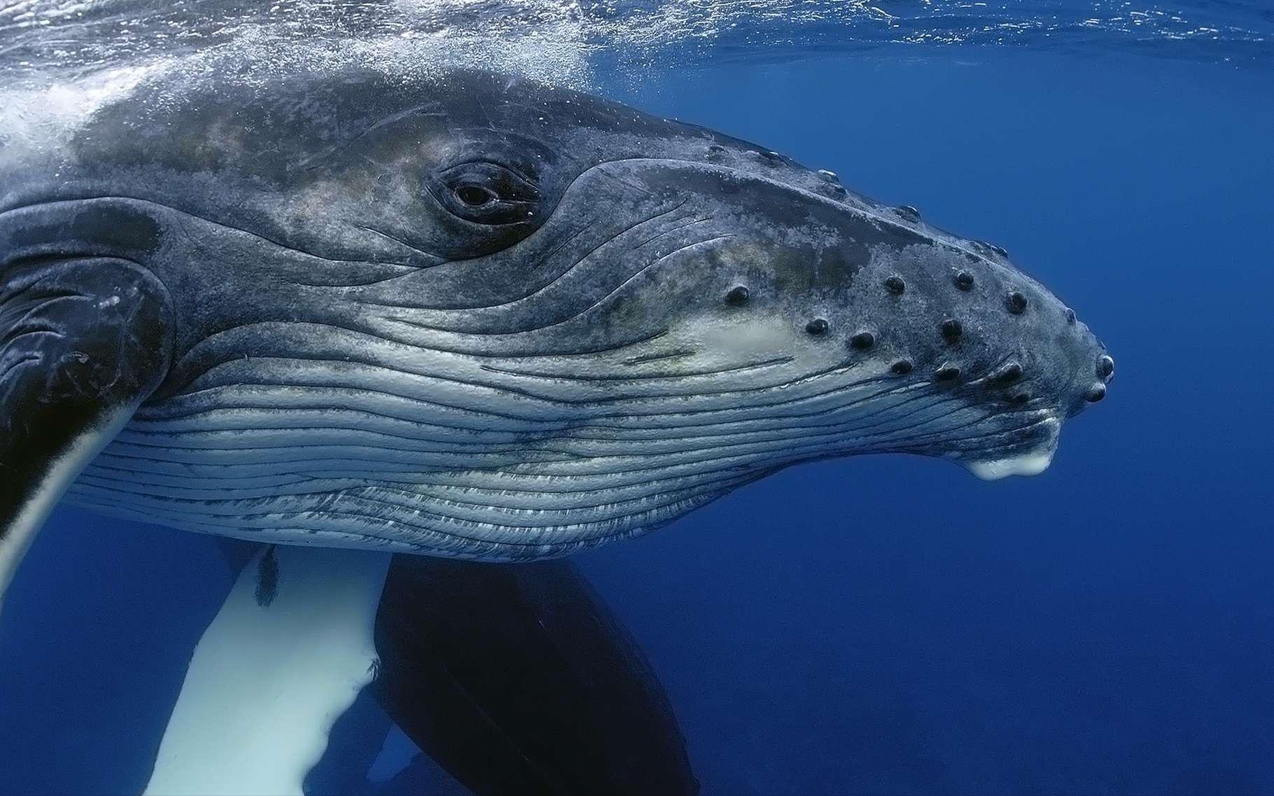 Les baleines à bosse ont un chant structuré, propre à chaque région du monde où elles se reproduisent. Par ailleurs, leur chant évolue à mesure que la baleine vieillit. © Yann hubert, Shutterstock