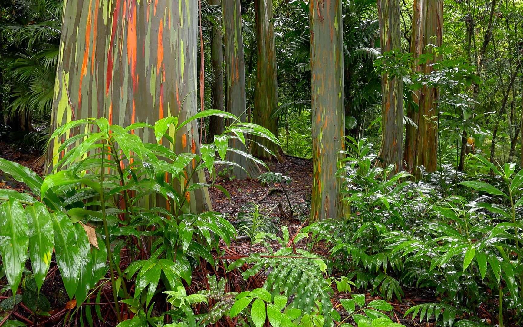 25 % des eucalyptus sont menacés. Ici l'extraordinaire eucalyptus arc-en-ciel, ou rainbow eucalyptus. © CrackerClips, Adobe Stock