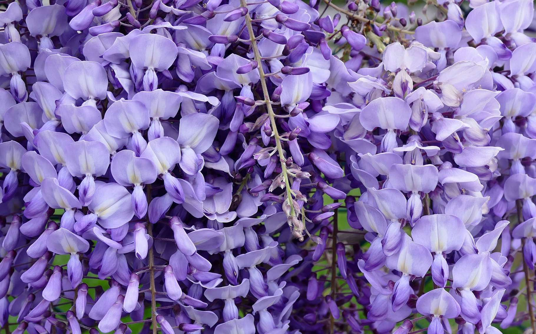 Sublime glycine. © Truk, Pixabay, DP