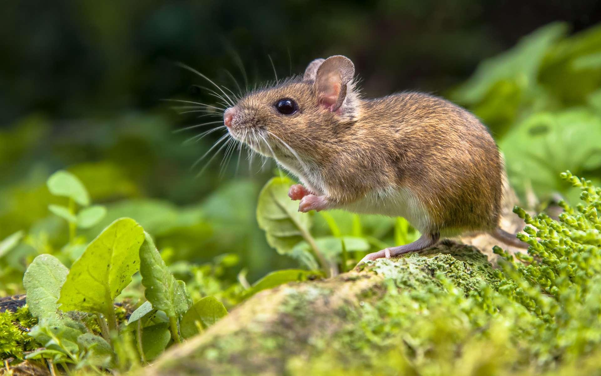 Les souris seraient capables de contrôler leurs impulsions de dopamine. © creativenature.nl, Adobe Stock