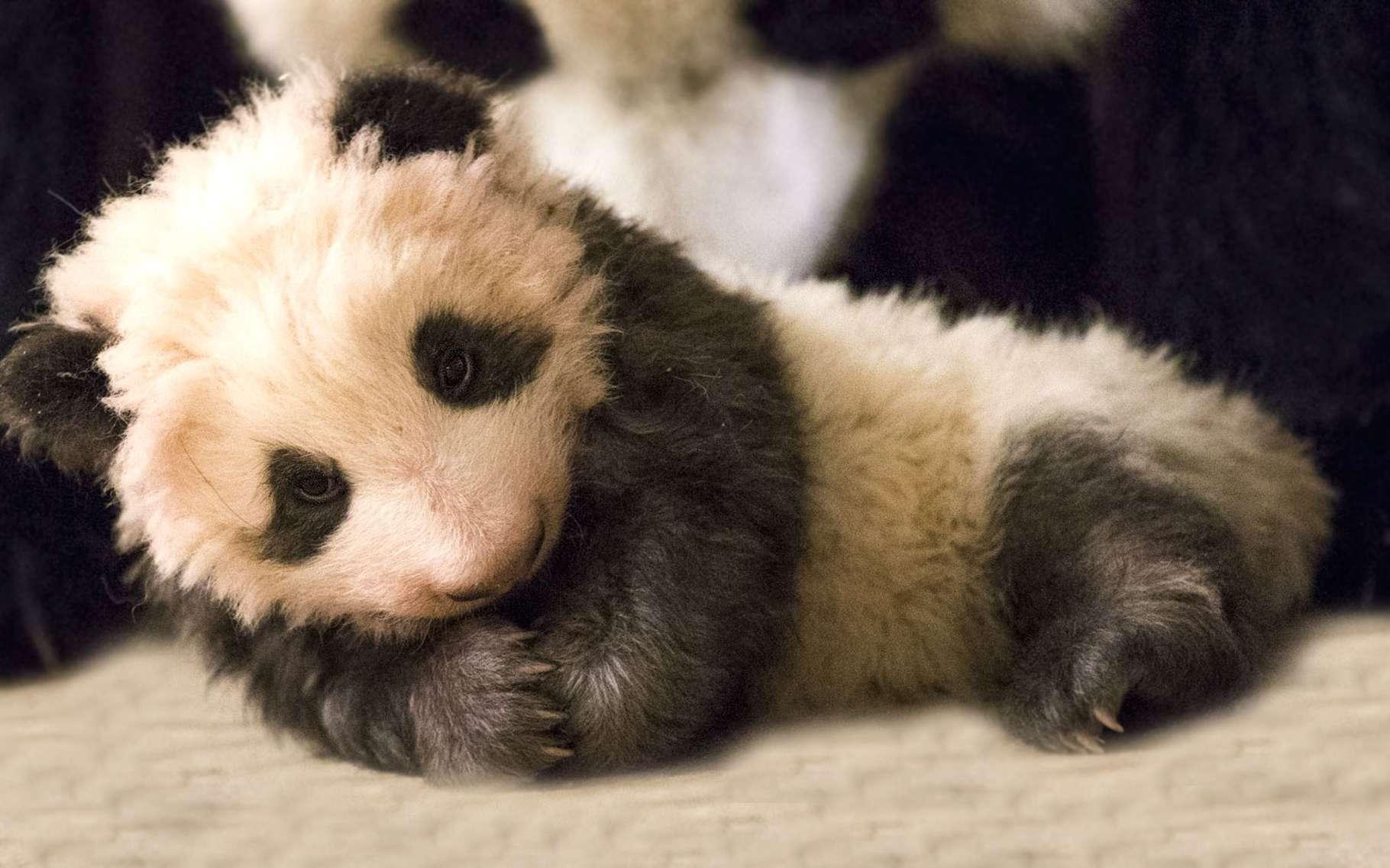 Les pandas géants sont en danger d'extinction dans la nature du fait de la régression de leur habitat exclusif, les forêts de bambou. © dangdumrong, Istock.com