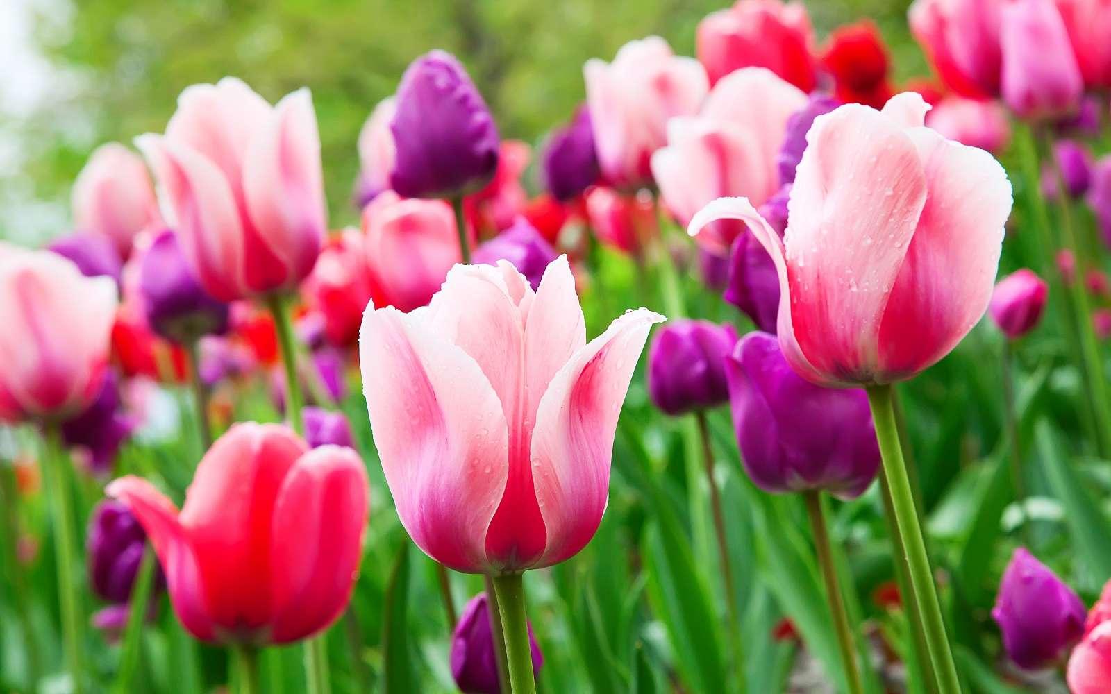 Magnifiques floraisons de tulipes. © swisshippo, Adobe Stock