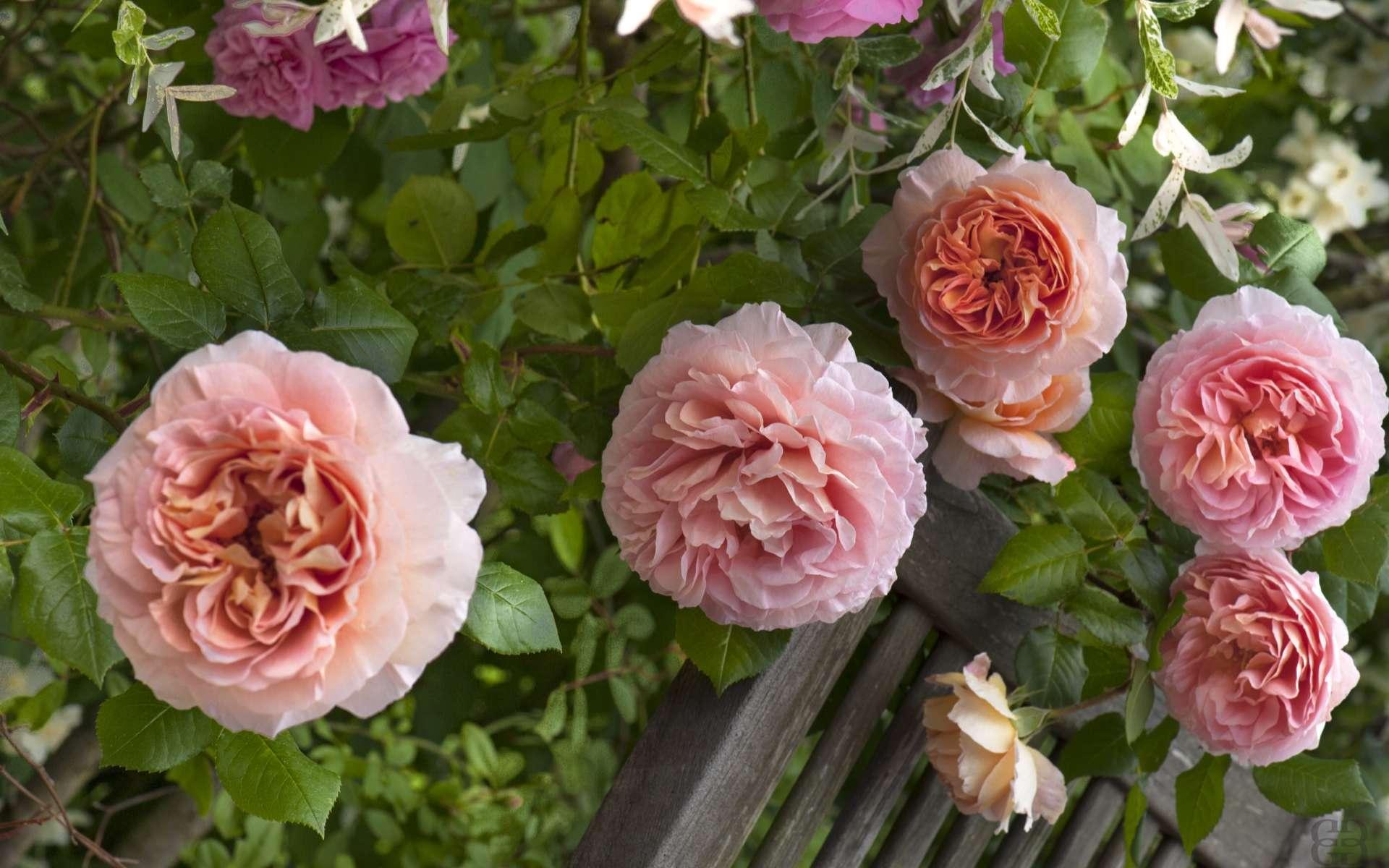 Le marcottage des rosiers anciens en particulier permet de reproduire des variétés rares. © Créafolios pour Futura, reproduction interdite