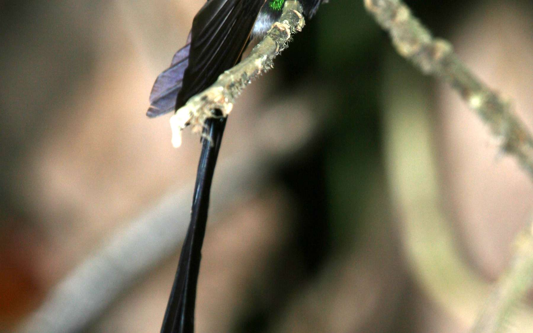Le colibri à queue en ciseaux, endémique du Venezuela, est un des oiseaux tropicaux menacés par le changement climatique. © Çağan Şekercioğlu, University of Utah
