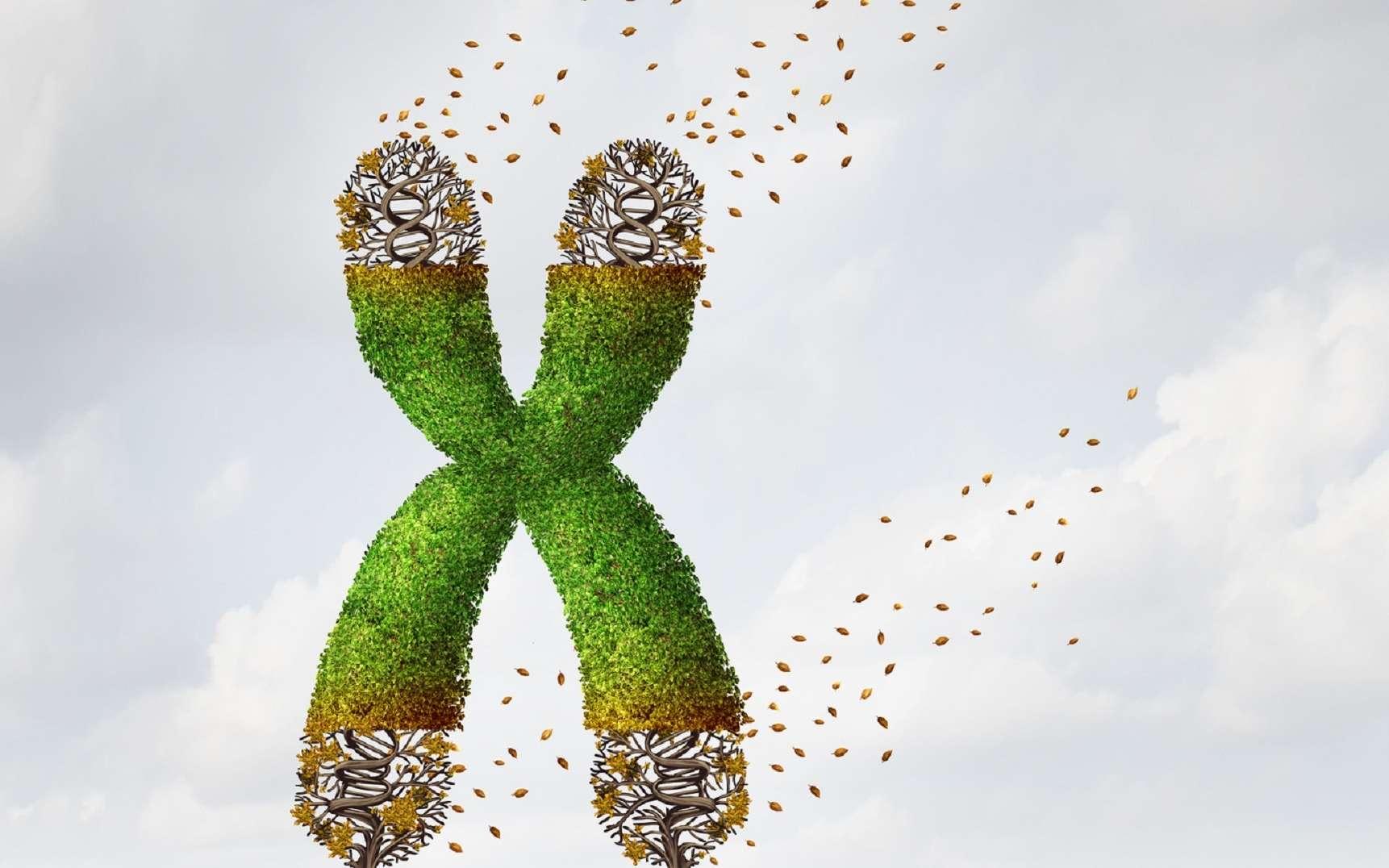Les télomères sont les extrémités des chromosomes ; ils peuvent perdre de l'information à chaque cycle cellulaire. © freshidea, Fotolia