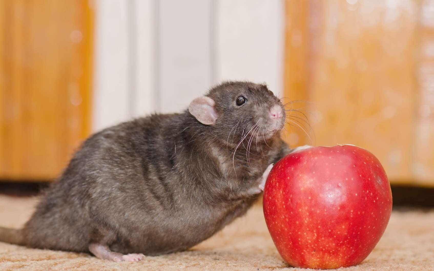 Un rat obèse à côté d'une pomme. © andwill, Fotolia