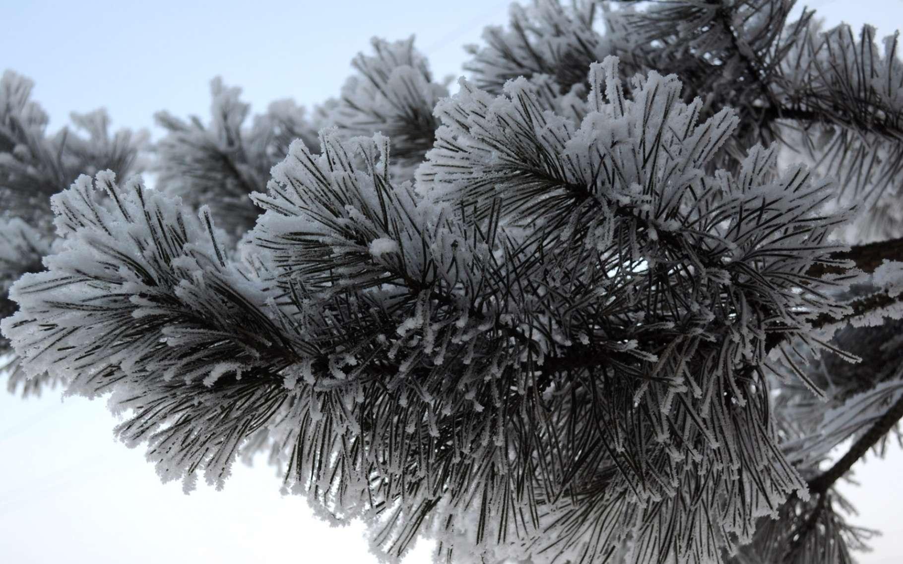 Les sapins naturels portent une faune peu visible, réveillée par la chaleur du foyer. Les plantes en pot amenées à la maison sont dans le même cas... © Domaine public
