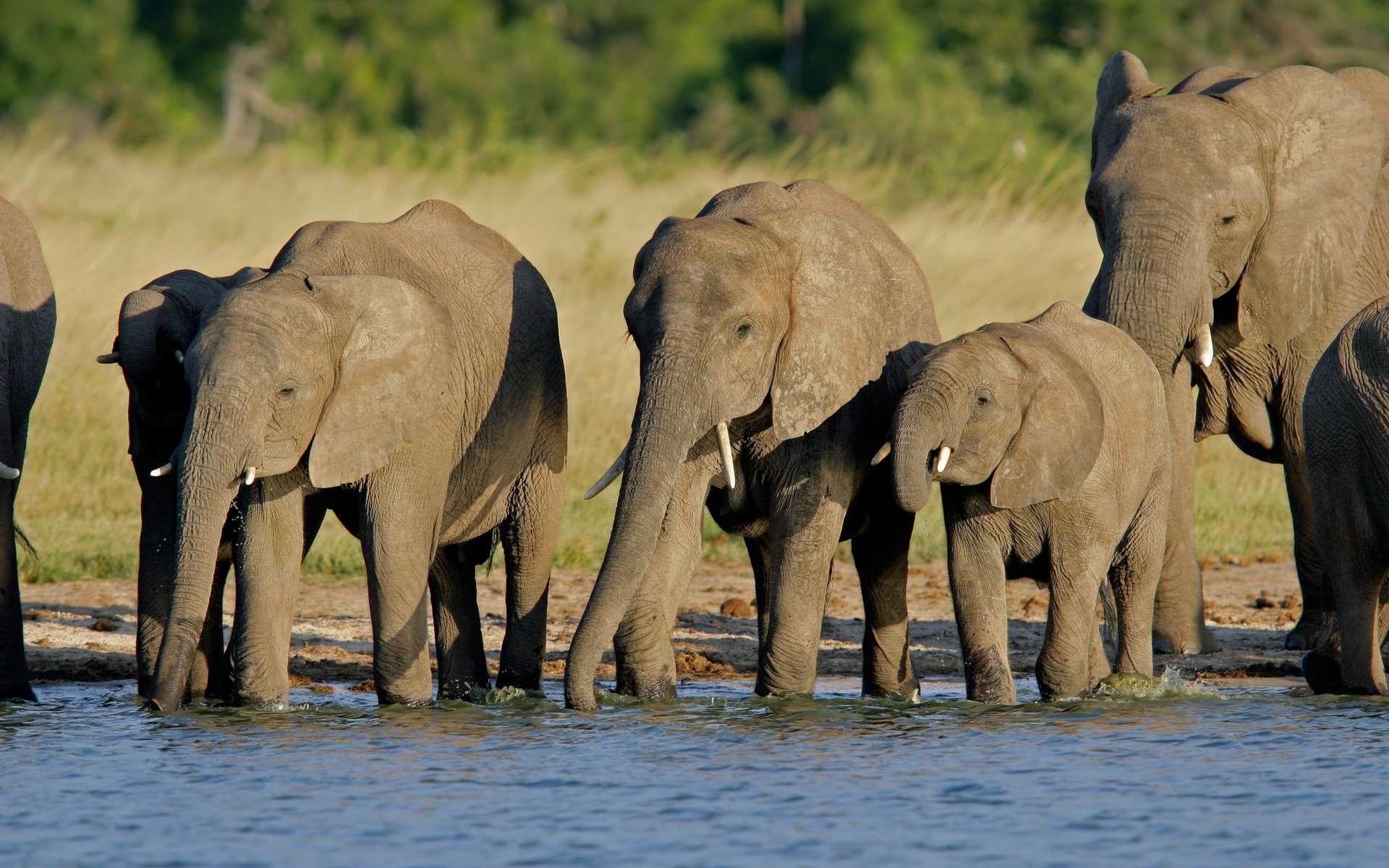 Un groupe de jeunes éléphants d'Afrique sous la surveillance d'une femelle adulte au moment de s'abreuver en communauté à la rivière. © Global Water Partnership, Flickr cc by-nc-sa 2.0