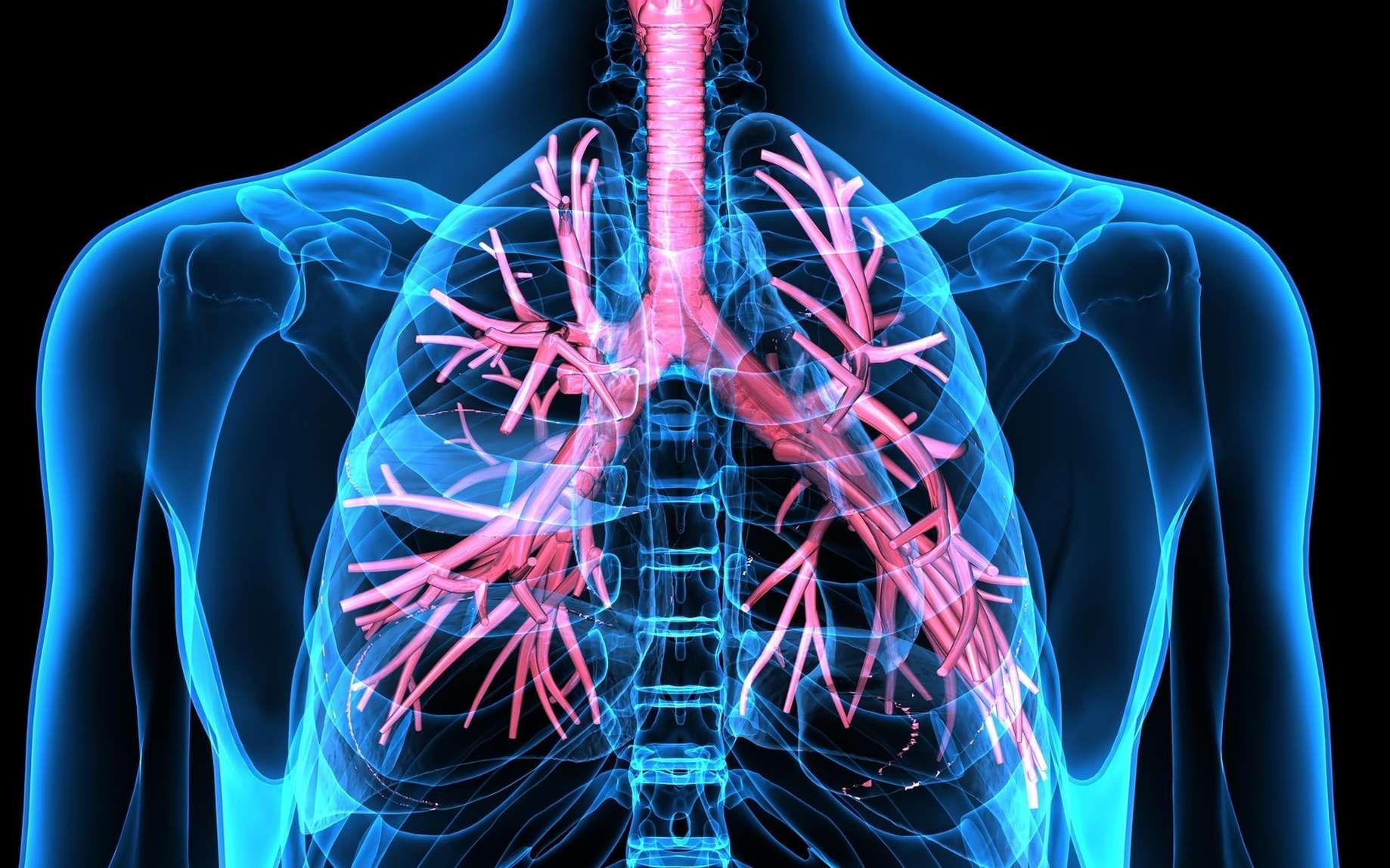 Les poumons n'ont pas qu'un rôle respiratoire : leurs vaisseaux seraient le site d'une importante production de plaquettes sanguines. © PIC4U, Fotolia
