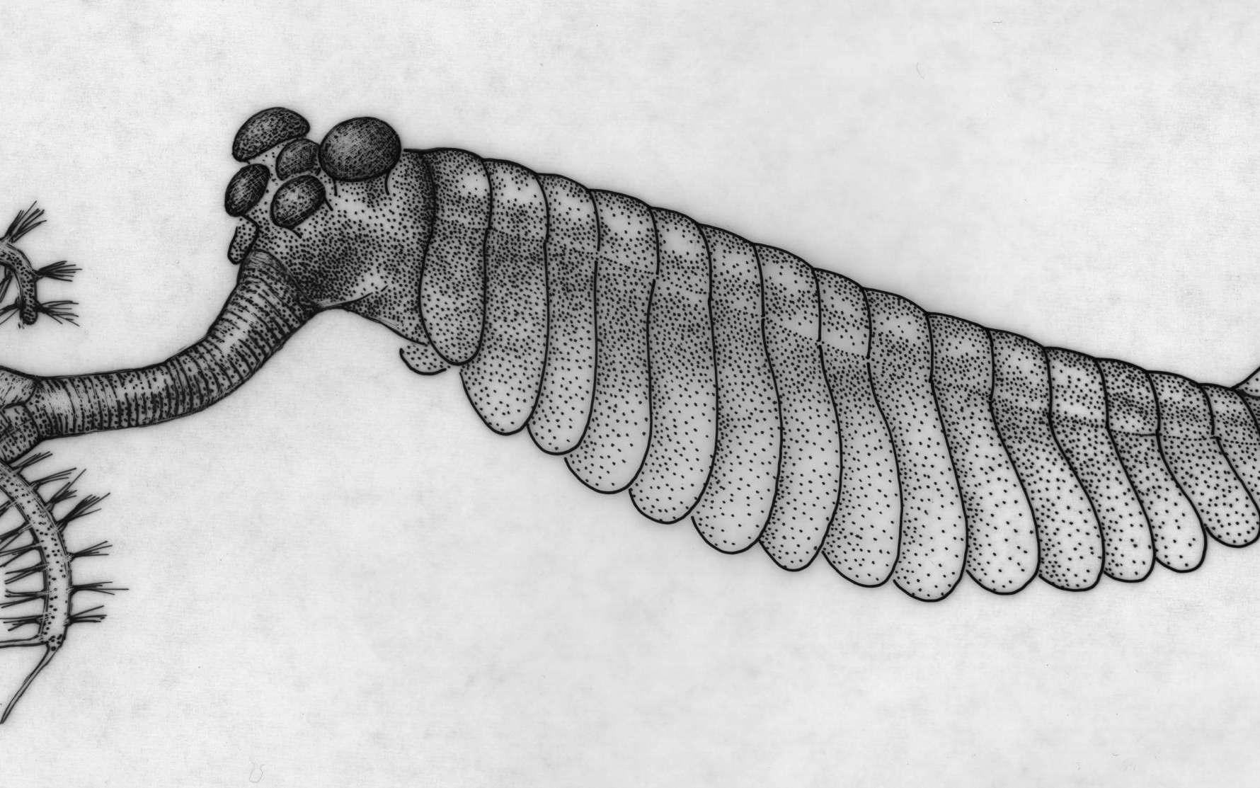 La majorité des espèces découvertes dans les schistes de Burgess, au Canada, n'ont jamais été observées ailleurs. Ces animaux, comme cette Opabinia, ont vécu voici 505 millions d'années. Ce gisement fossilifère a été trouvé par Charles Doolittle Walcott en 1909. © Mary Parrish, The Smithsonian Institution