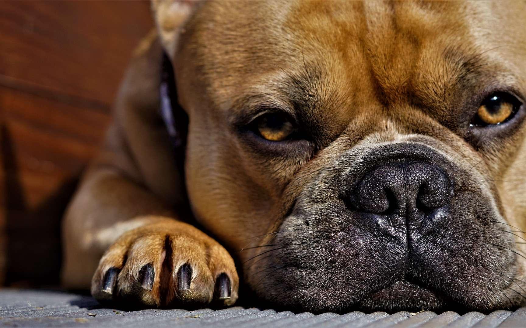 Le bouledogue a 14 fois plus de risque de coup de chaleur que le labrador. © Mylene2401, Pixabay