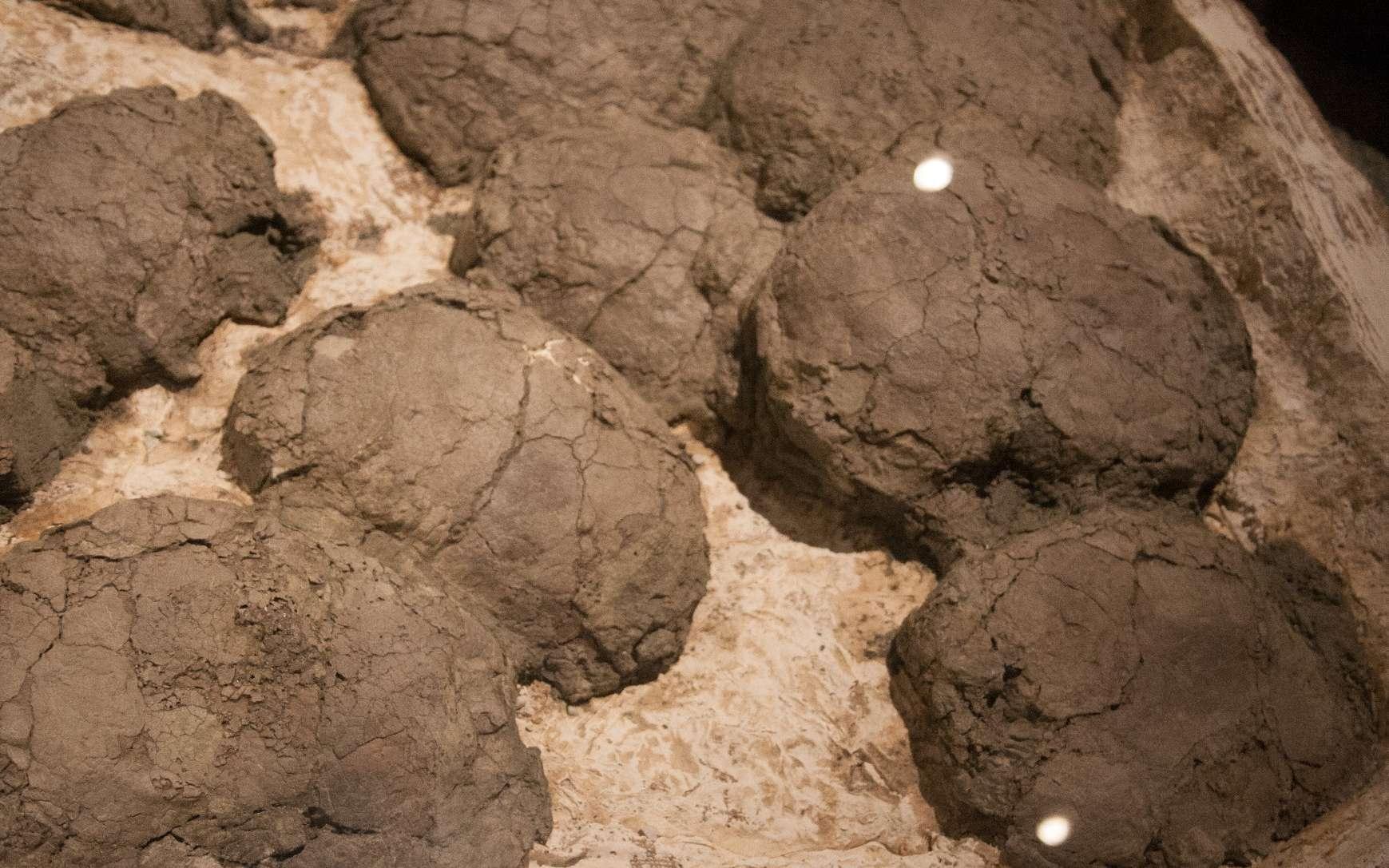 Des œufs fossilisés pondus dans un nid par des dinosaures du Crétacé de l'espèce Hypacrosaurus stebingeri. © Roland Tanglao, cc by sa 2.0 Wikipédia