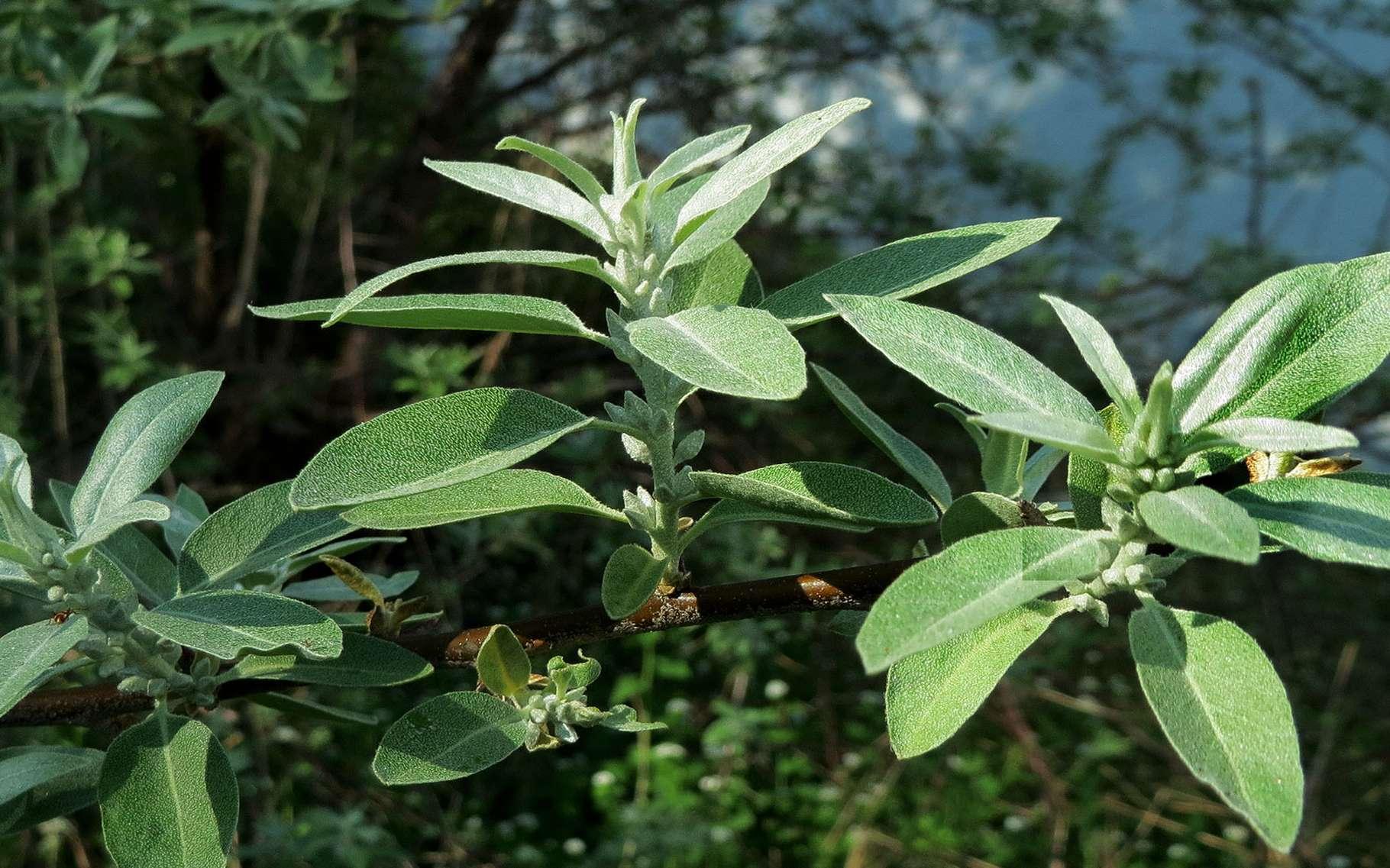 L'olivier de Bohème fait partie des éléagnacées. © Cat Sidh, Flickr CC by nc-nd 2.0
