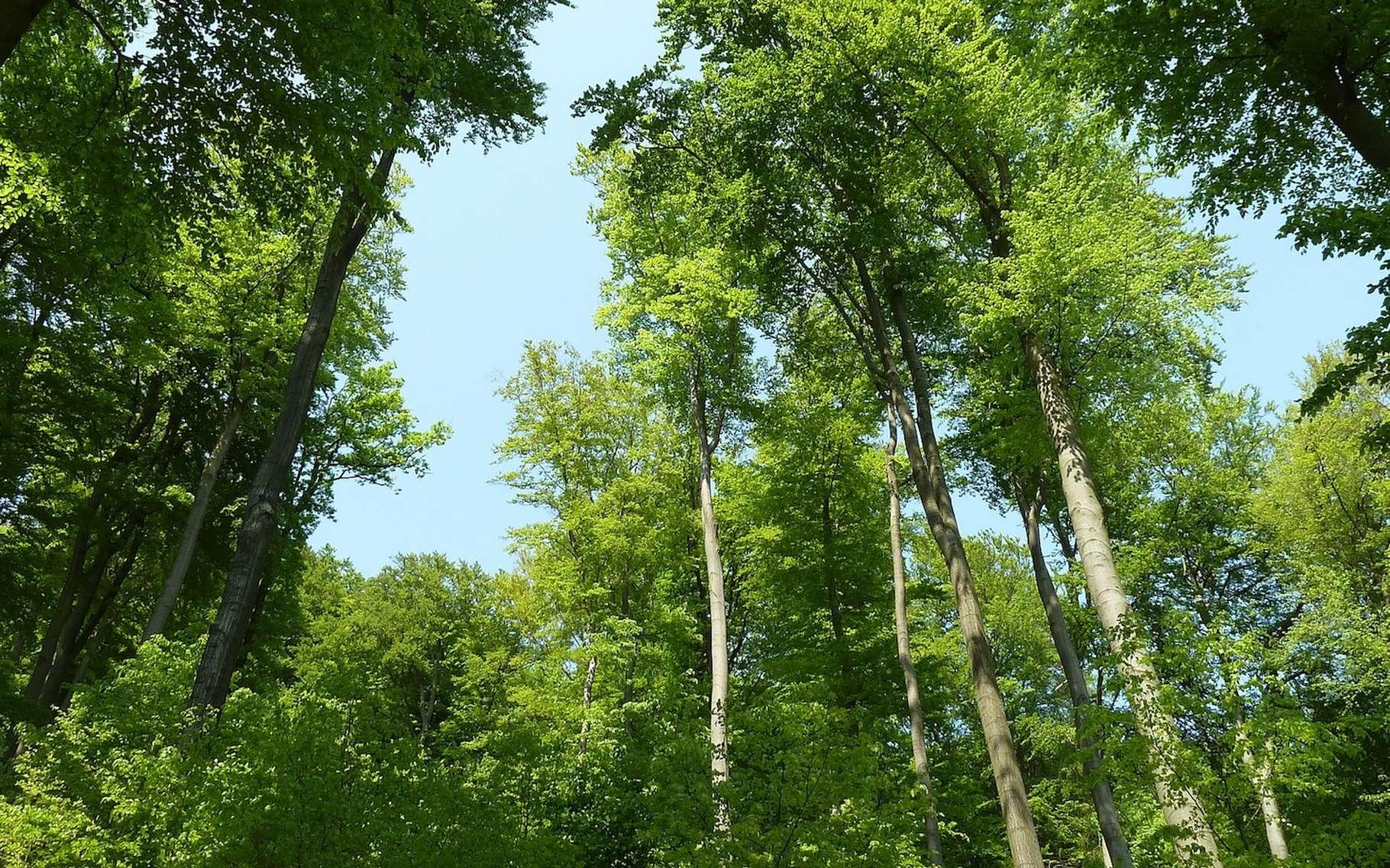 La forêt tempérée est essentiellement composée d'arbres à feuilles caduques. © anthark, Pixabay, CC0 Creative Commons
