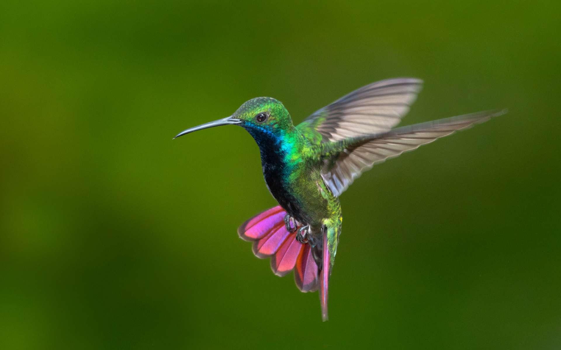 Des chercheurs ont étudié le vol des colibris à travers une cascade. © Chelsea, Adobe Stock