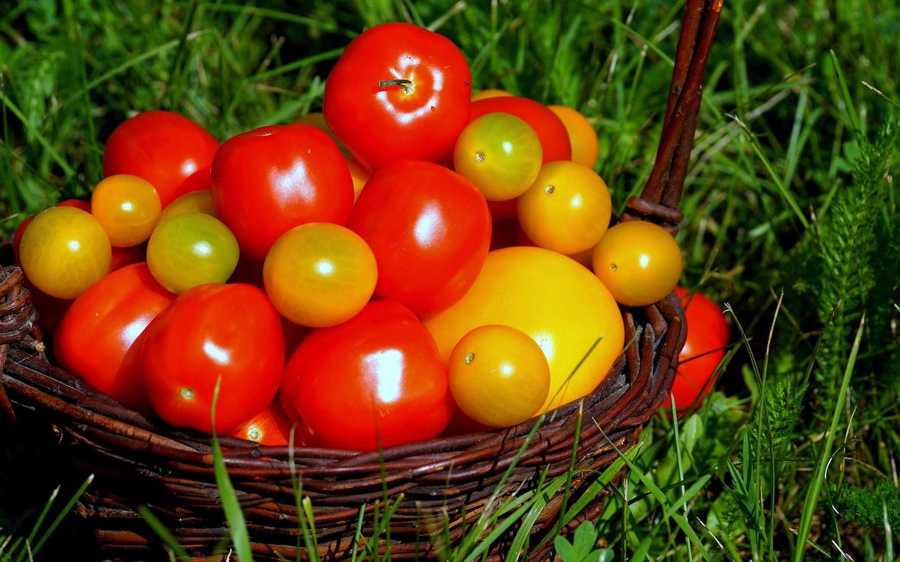 Les tomates, surtout celles que l'on trouve dans les supermarchés, ont de moins en moins de goût. La faute, semble-t-il, à une sélection malhabile. © kat_koze, Pixabay, DP