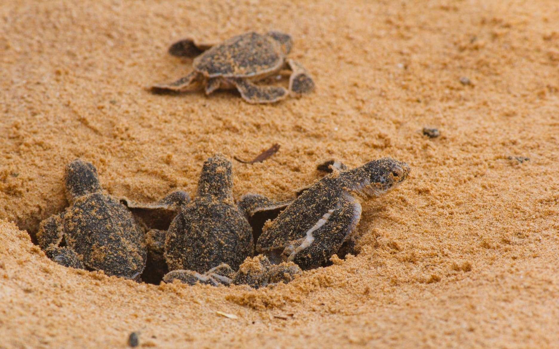 Les bébés tortues sont nés. La maman caouanne (Caretta caretta) était venue déposer ses œufs à la mi-juillet sur une plage de Fréjus, dans le département du Var. © MSM, Adobe Stock
