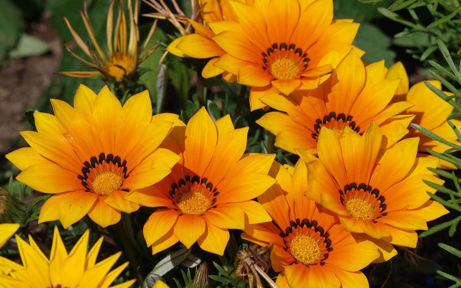 Les gazanias sont des fleurs qui aiment le soleil. En l'absence de soleil, elles se referment. © Marc, Fotolia