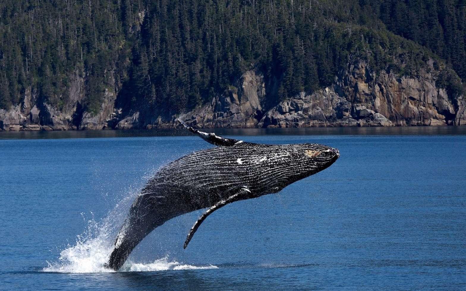 La baleine bleue est le plus grand animal marin à avoir jamais existé. Seuls certains dinosaures sauropodes, aux dimensions hypothétiques, peuvent lui disputer le titre de plus grand animal de la planète. © CC0 Public Domain