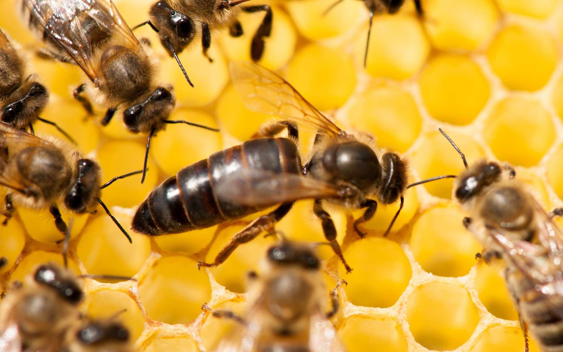 La reine des abeilles est facilement reconnaissable, de par sa taille plus importante. Elle est aussi recouverte de moins de poils qu'une abeille ouvrière. © Samo Trebizan