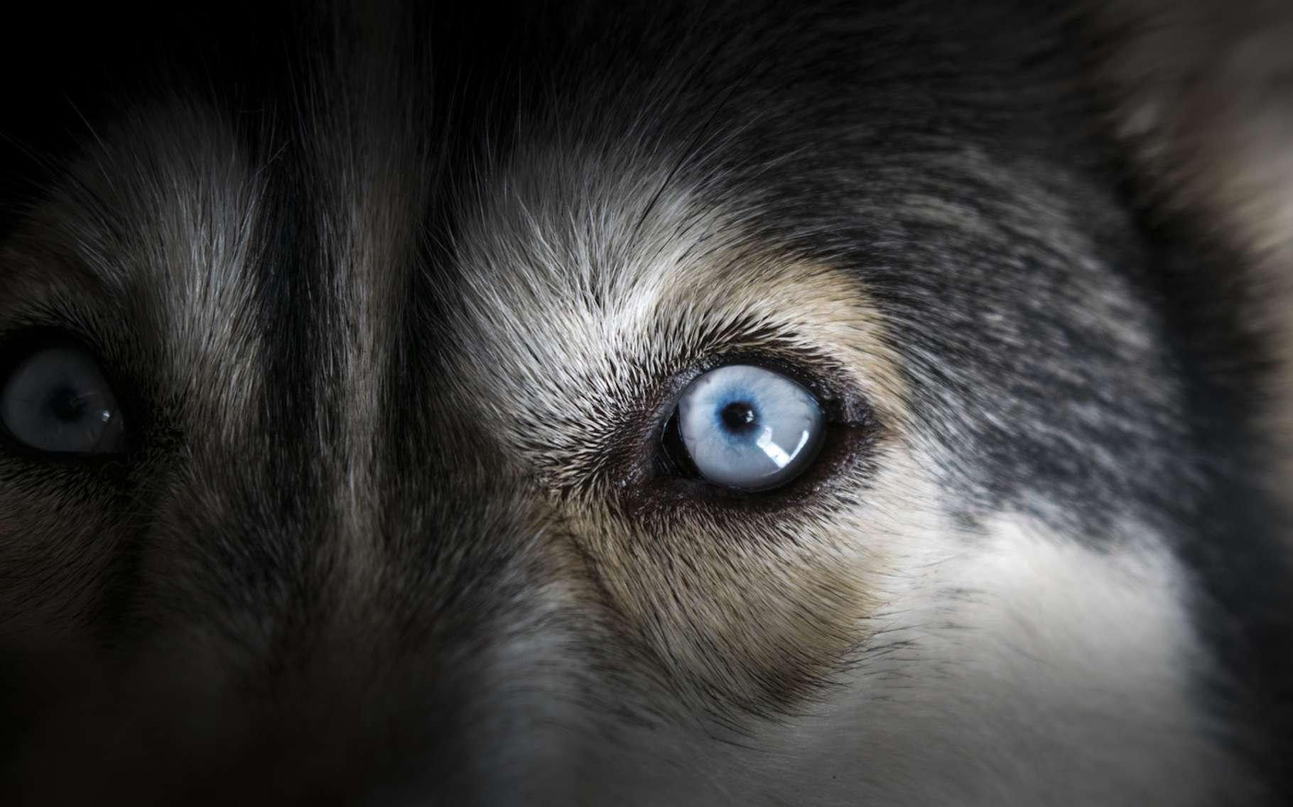 L'idée que les chiens voient le monde en noir et blanc est un mythe. Ils sont bien capables de distinguer certaines couleurs. © thenineworld, Fotolia
