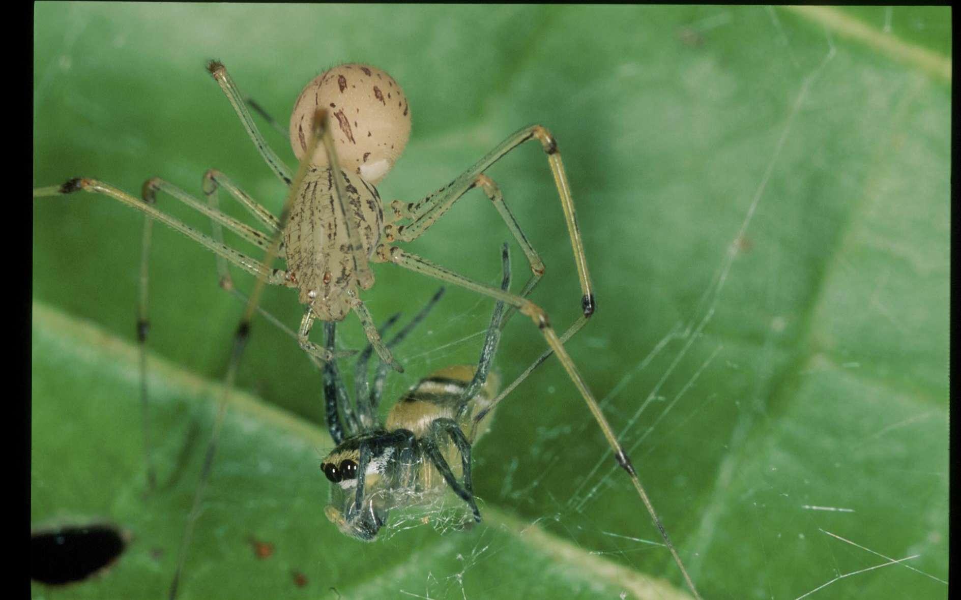 L'araignée prédatrice Scytodes peut cracher à longue distance sur sa proie, l'araignée Phintella, et lui envoyer une sorte de gomme collante. Phintella est retenue dans cette colle suffisamment longtemps pour que l'araignée prédatrice s'approche, la capture en injectant du venin et en l'enveloppant dans ses filets de soie. © Robert Jackson, université de Canterbury