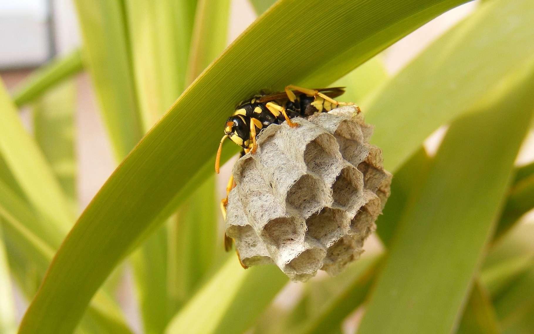 Pour se débarrasser d'un nid de guêpes, mieux vaut faire appel à un professionnel. © ExploreMoreUK_com, Pixabay License