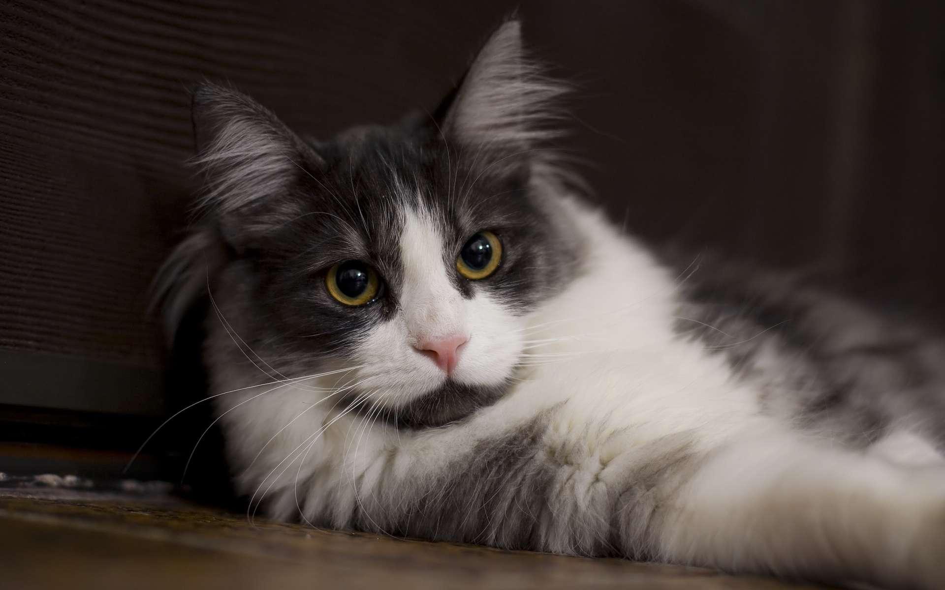 Le chat s'adapte parfaitement à la vie en appartement. © Ryan, Flickr