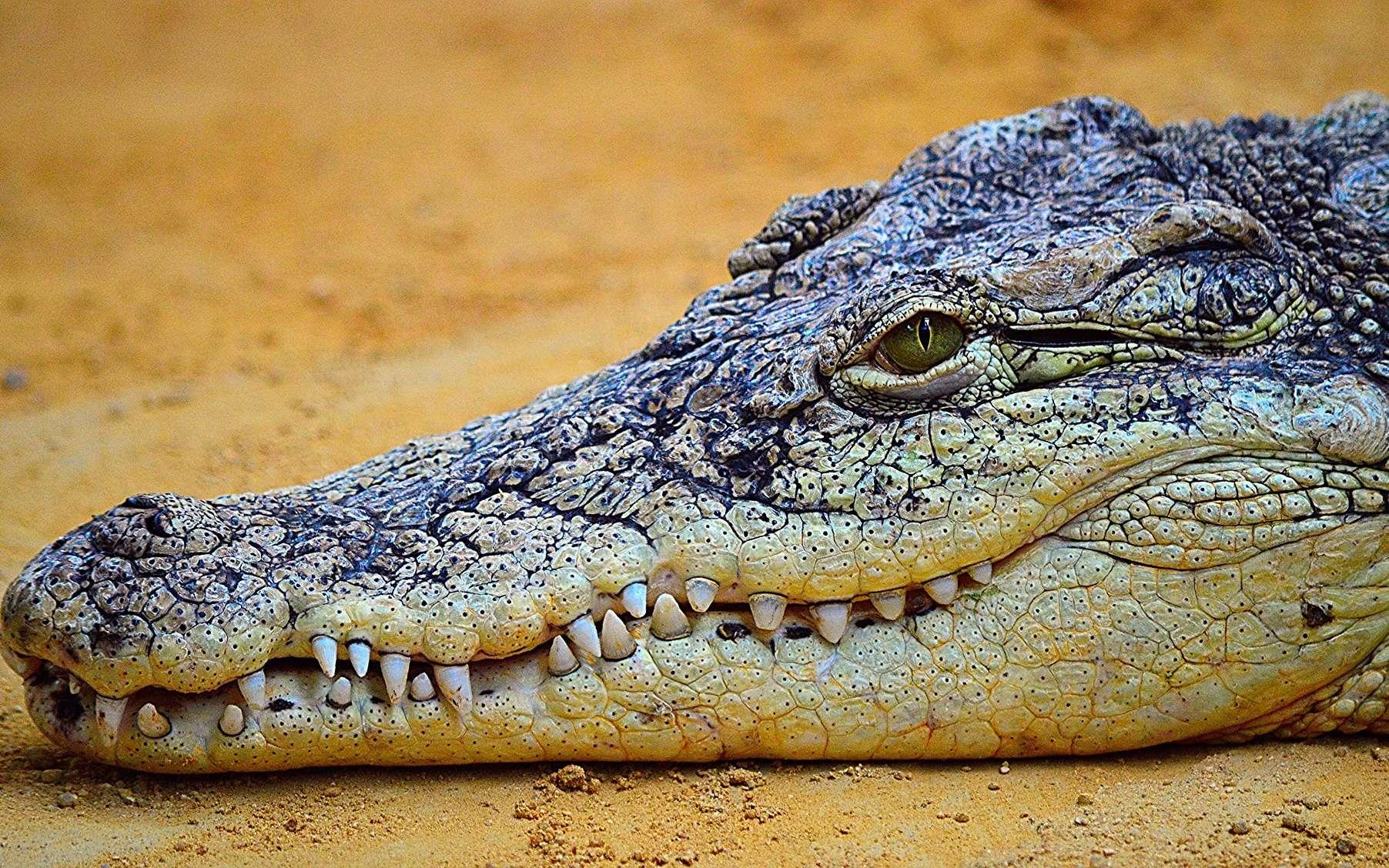 Crocodile et alligator : quelle différence ? Ici, un crocodile. © Acanthostega, Pixabay, DP