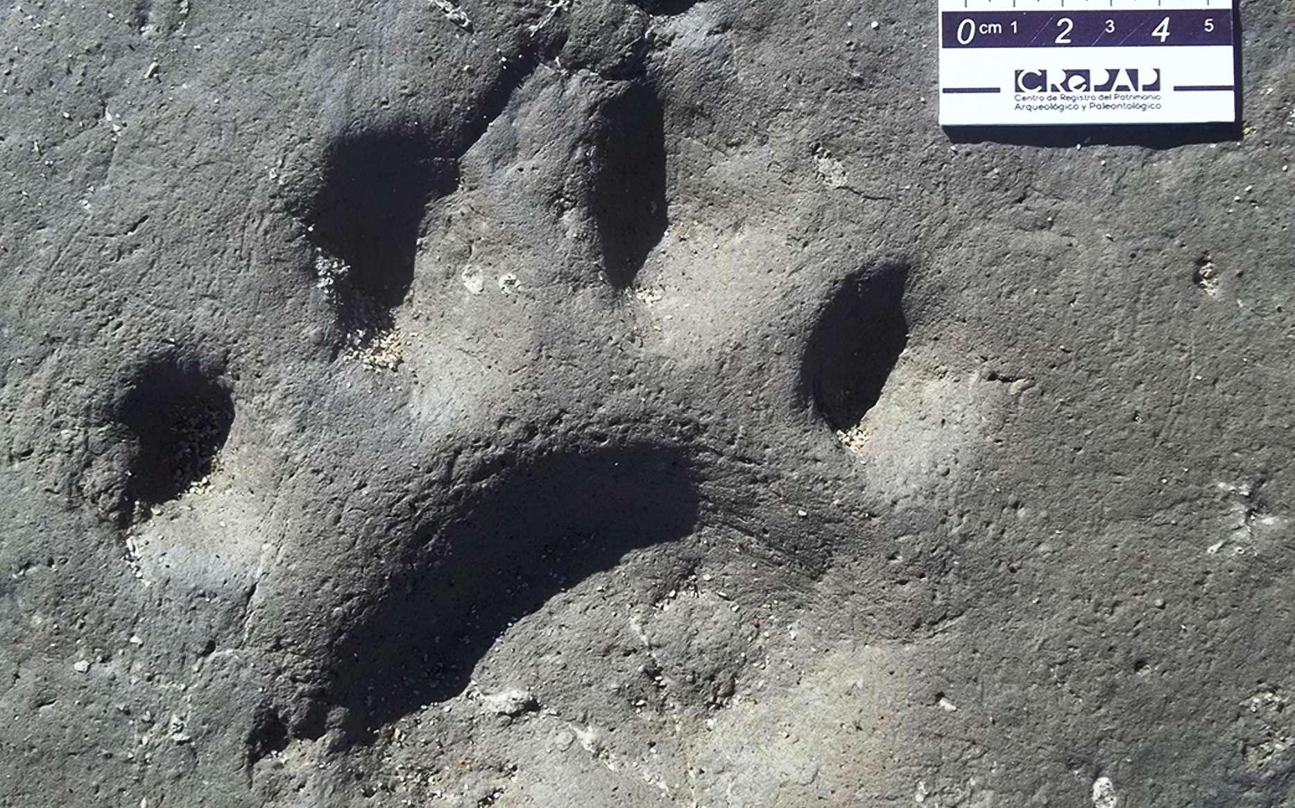 Une des quatre empreintes de pas laissées par un Smilodon en Argentine il y a environ 50.000 ans. Sa taille est d'environ 19 centimètres. © Daniel Boh, Museo Municipal de Miramar