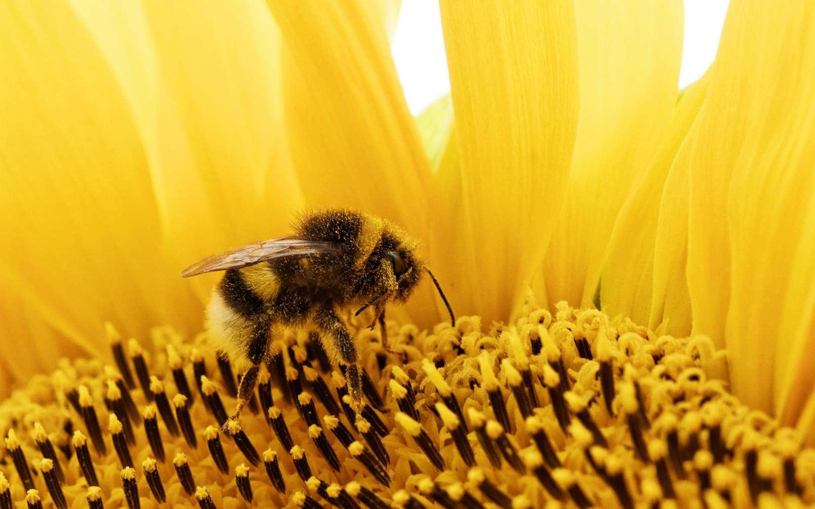 Les bourdons souffriraient d'effet non létaux des insecticides qui pourraient remplacer les néonicotinoïdes. © Trzmiel na słoneczniku