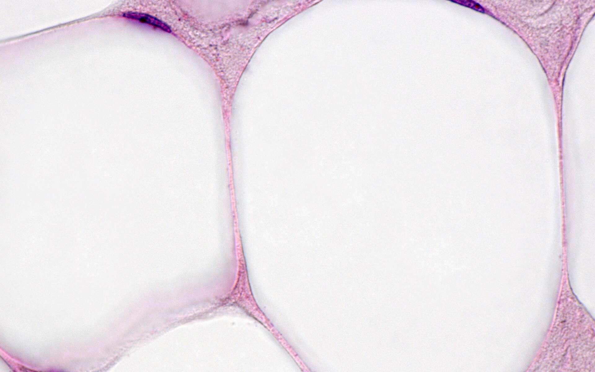Dans les adipocytes du tissu adipeux blanc, le noyau est repoussé sur le bord à cause d'une grosse goutte de graisse. © Jose Luis Calvo, Shutterstock