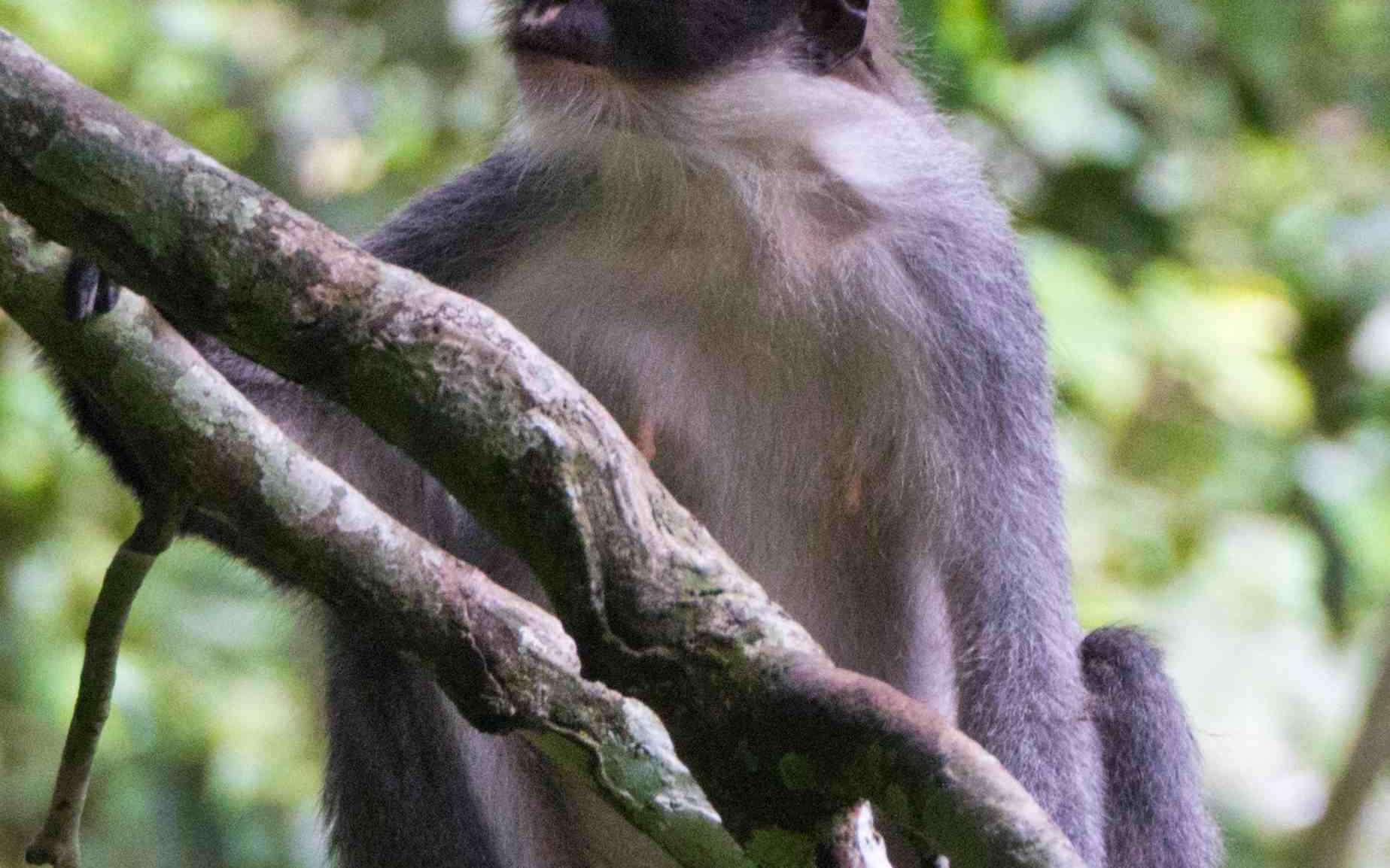 Presbytis hosei canicrus est une des quatre sous-espèces de Presbytis hosei, toutes endémiques de l'île de Bornéo. © Eric Fell