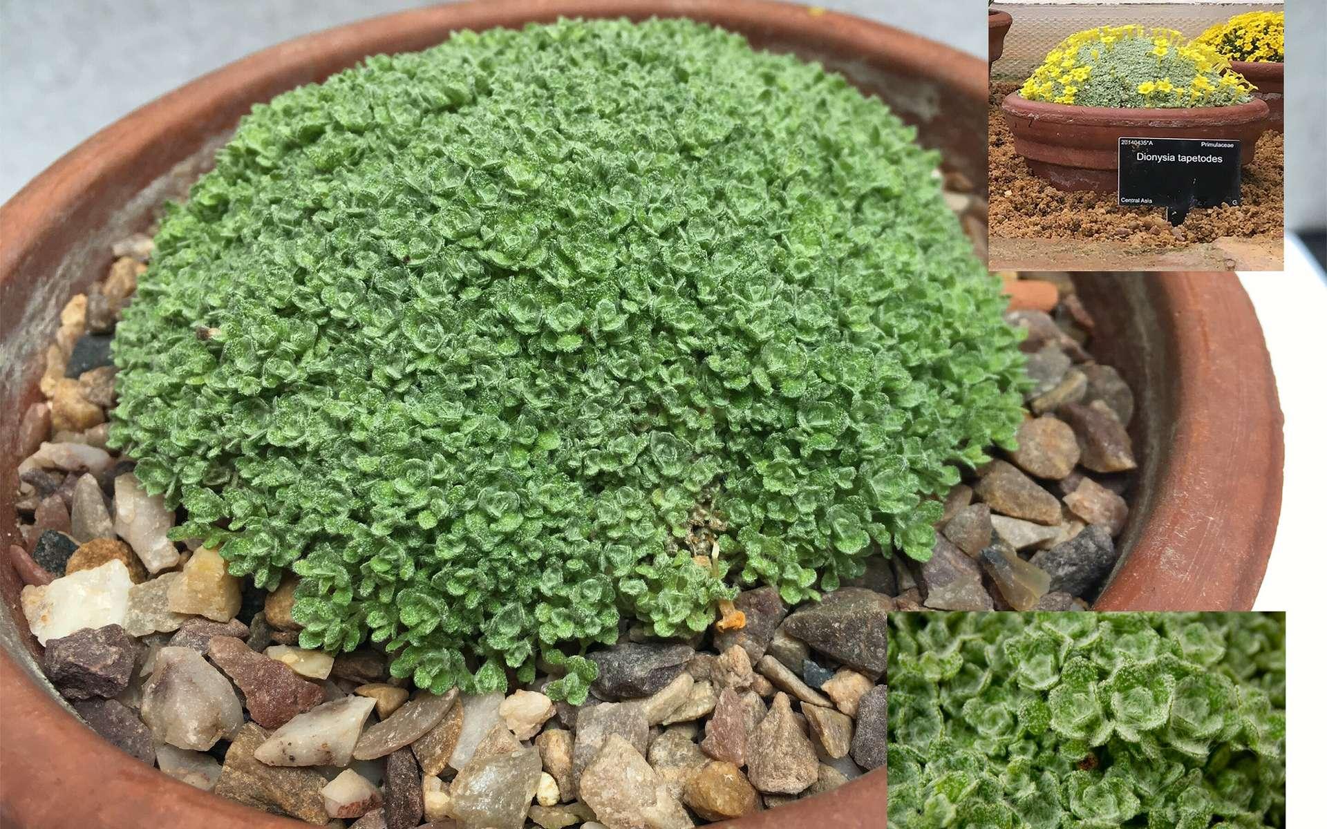 Étonnant : cette plante « tisse » sa propre laine