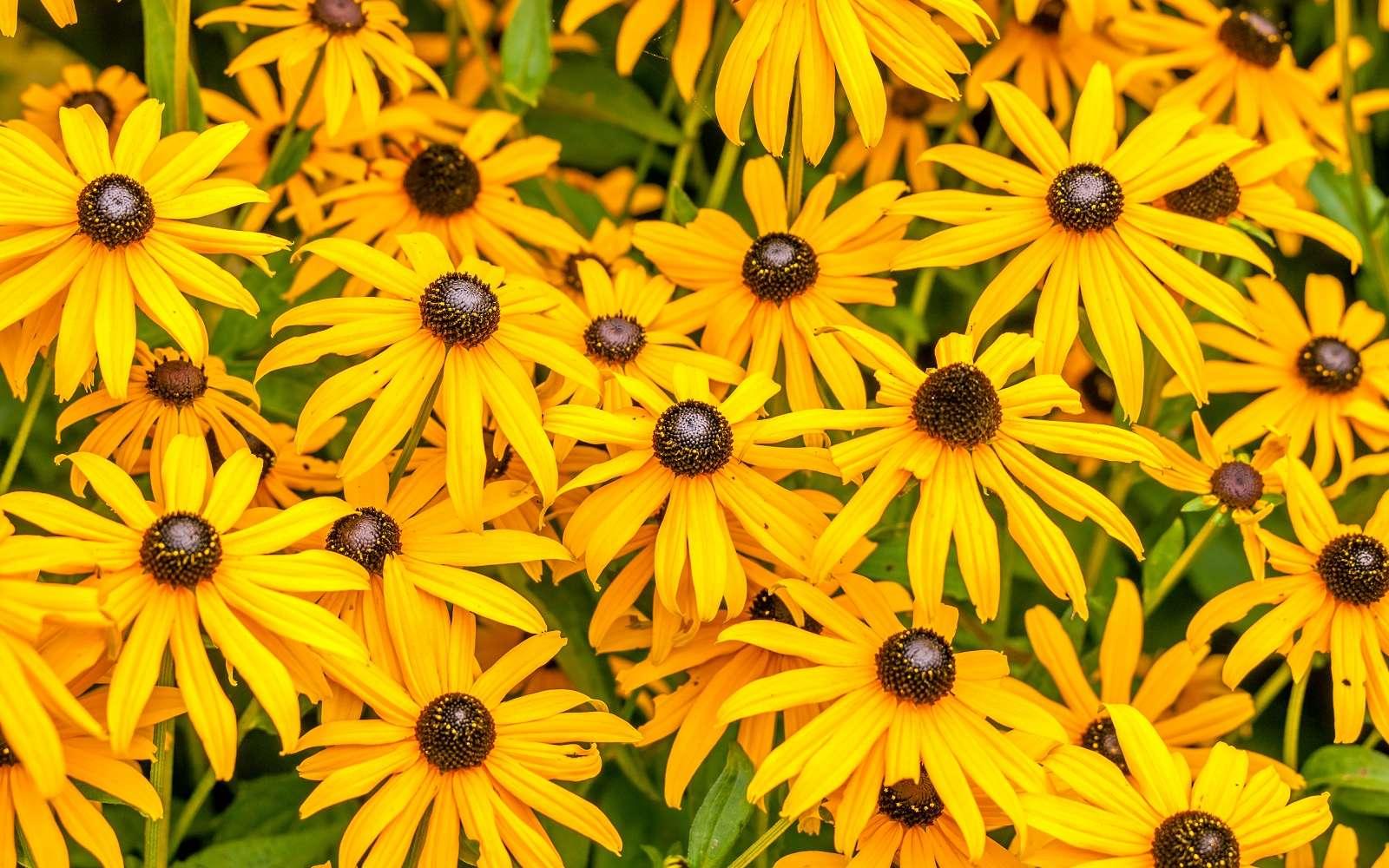 Le rudbeckia, plante à fleur annuelle ou vivace, apporte tout l'été une touche solaire au jardin. © Polarpx, Adobe Stock