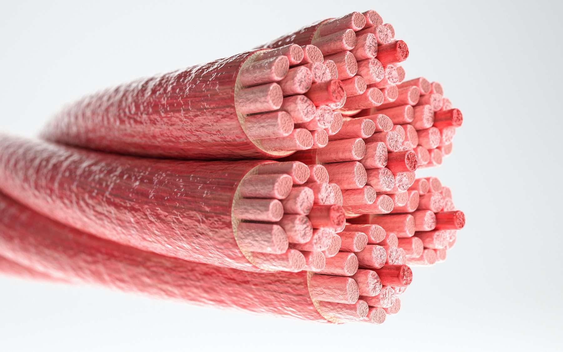 Les fibres musculaires, plus solides que le Kevlar. © Crevis, Adobe Stock