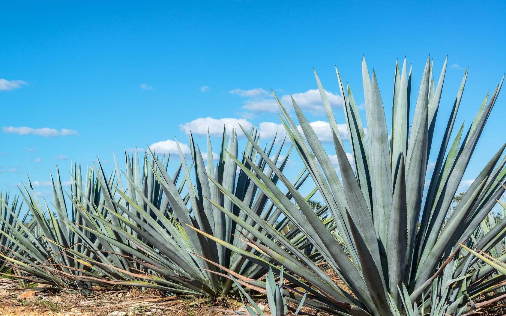 L'agave bleu ou Agave tequilana. © jkraft5, Fotolia
