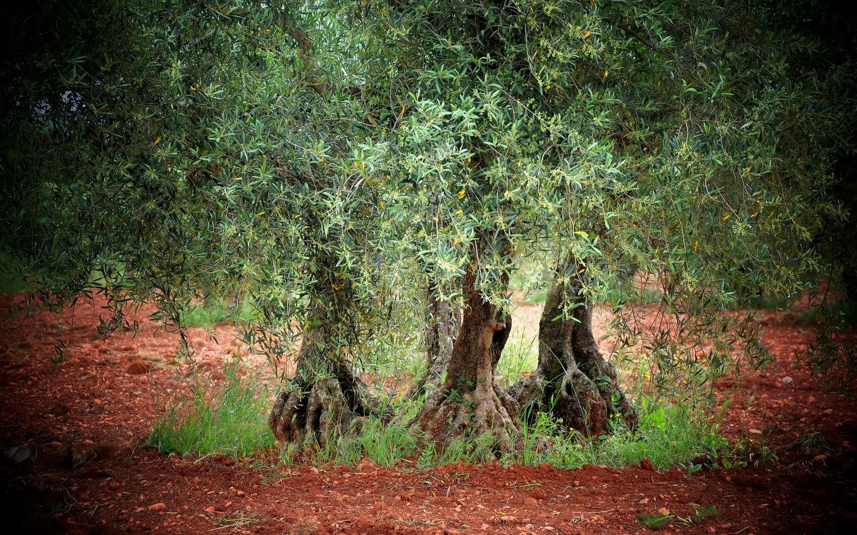 Il Cultive L Olivier définition | olivier - olea europaea | futura planète