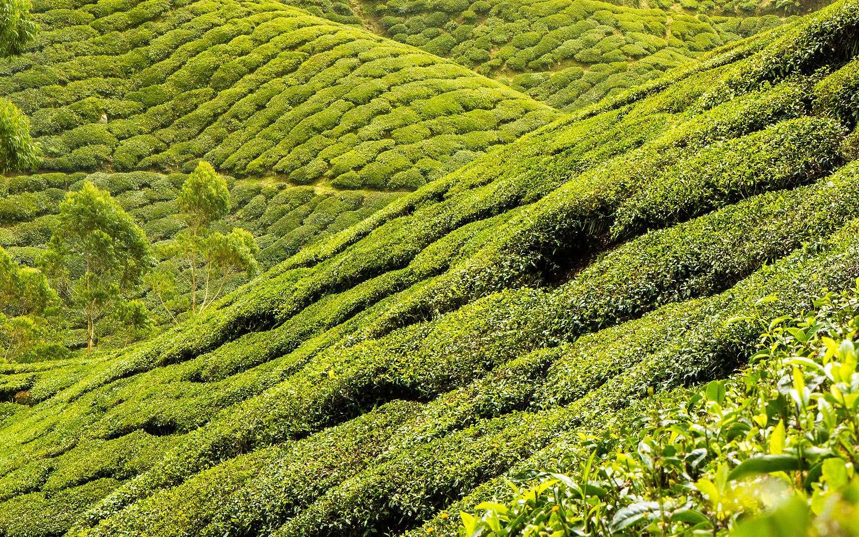 Plantation de thé. Plantation et champs de thé. © Syahirhakim, Domaine public
