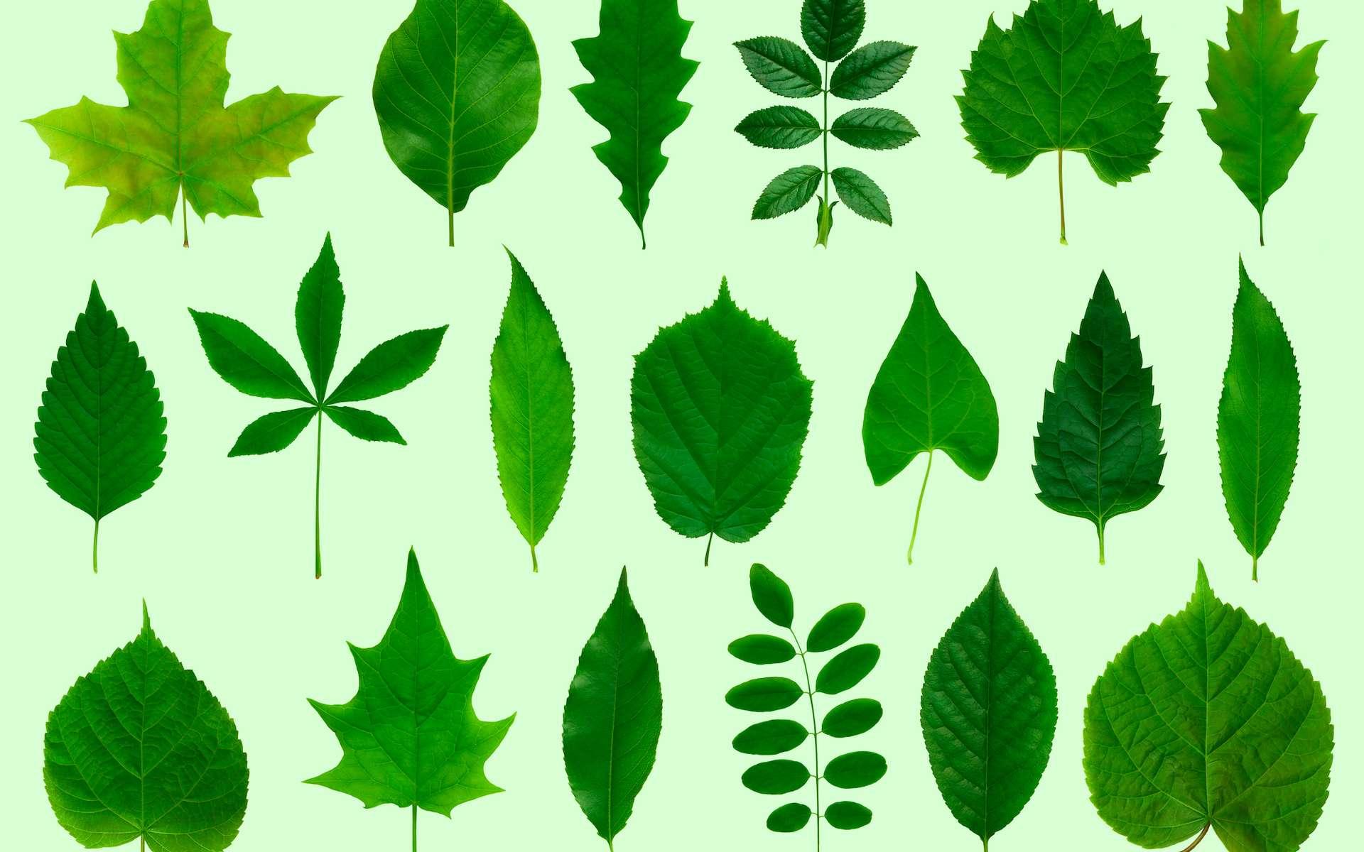 Quiz : la forme des feuilles d'arbres. © photka, Adobe Stock