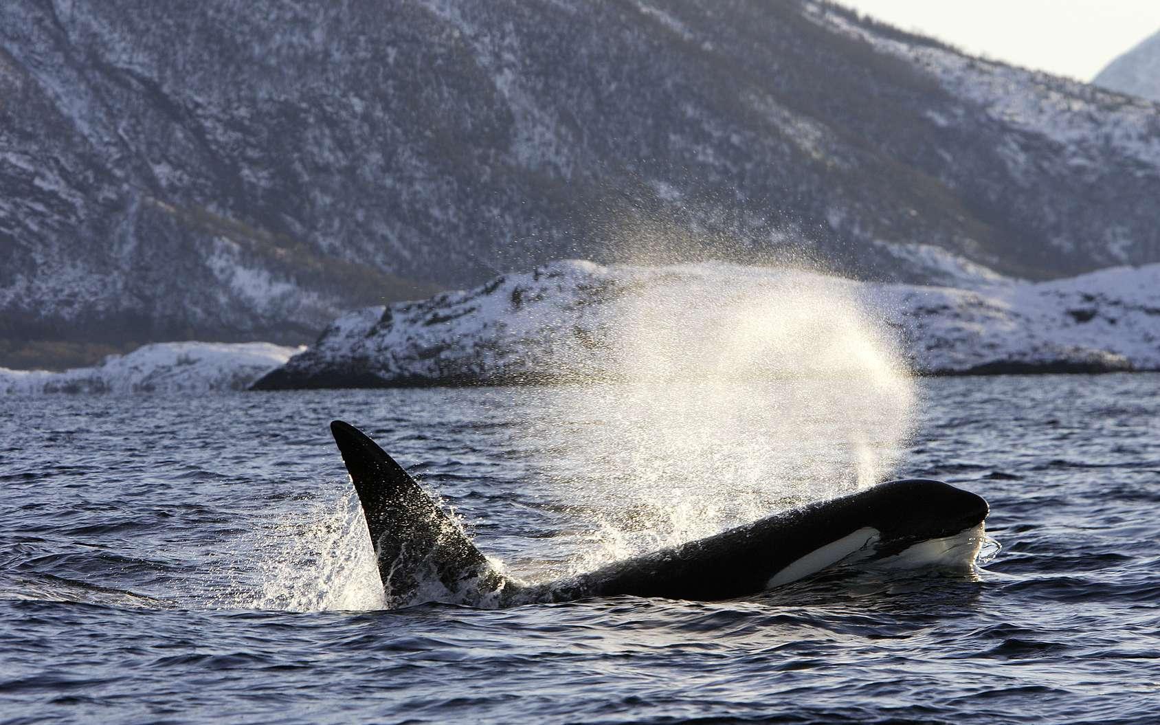 Les orques à l'état sauvage sont menacées par la pollution, notamment les PCB. © PIXATERRA, Fotolia