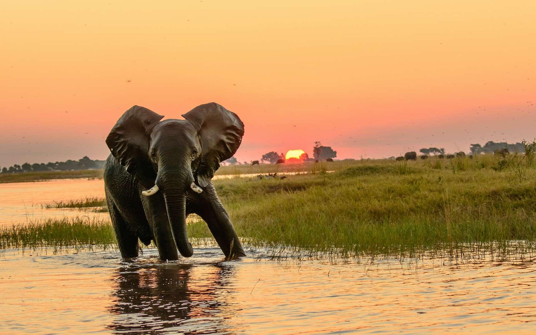 Au Botswana, on trouve la plus grande population d'éléphants d'Afrique. Mais un mal mystérieux semble les toucher depuis 2020. © jtplatt, Adobe Stock