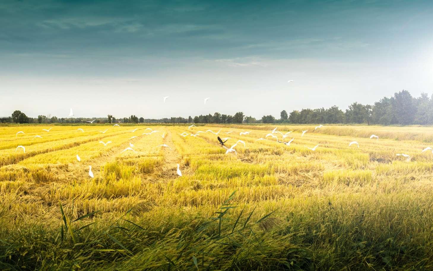 Masanobu Fukuoka a posé les bases de l'agriculture naturelle dans son livre La révolution d'un seul brin de paille. © Giuseppe Porzani, fotolia