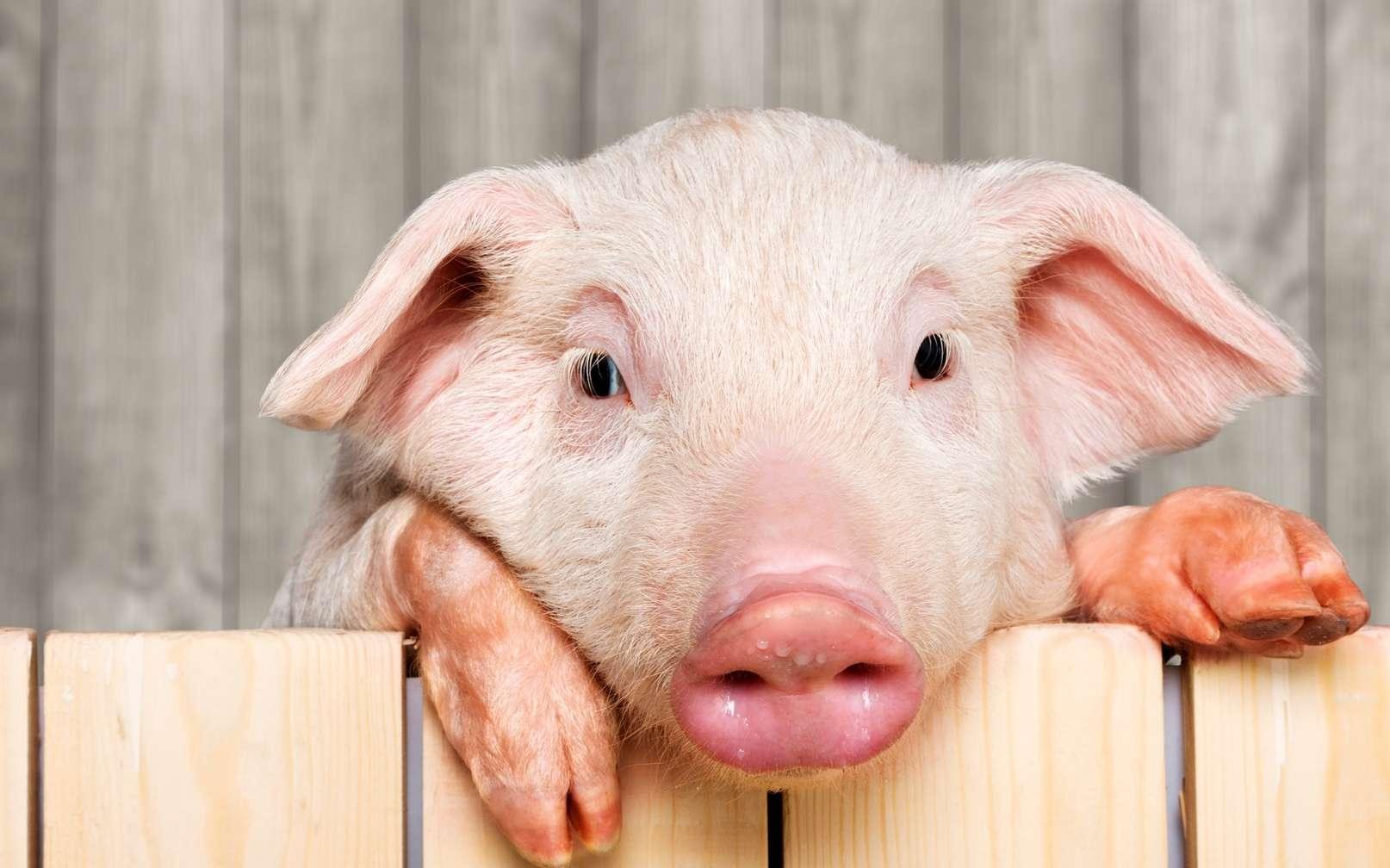 La peste porcine africaine se répand en Chine. © Billion Photos, Fotolia
