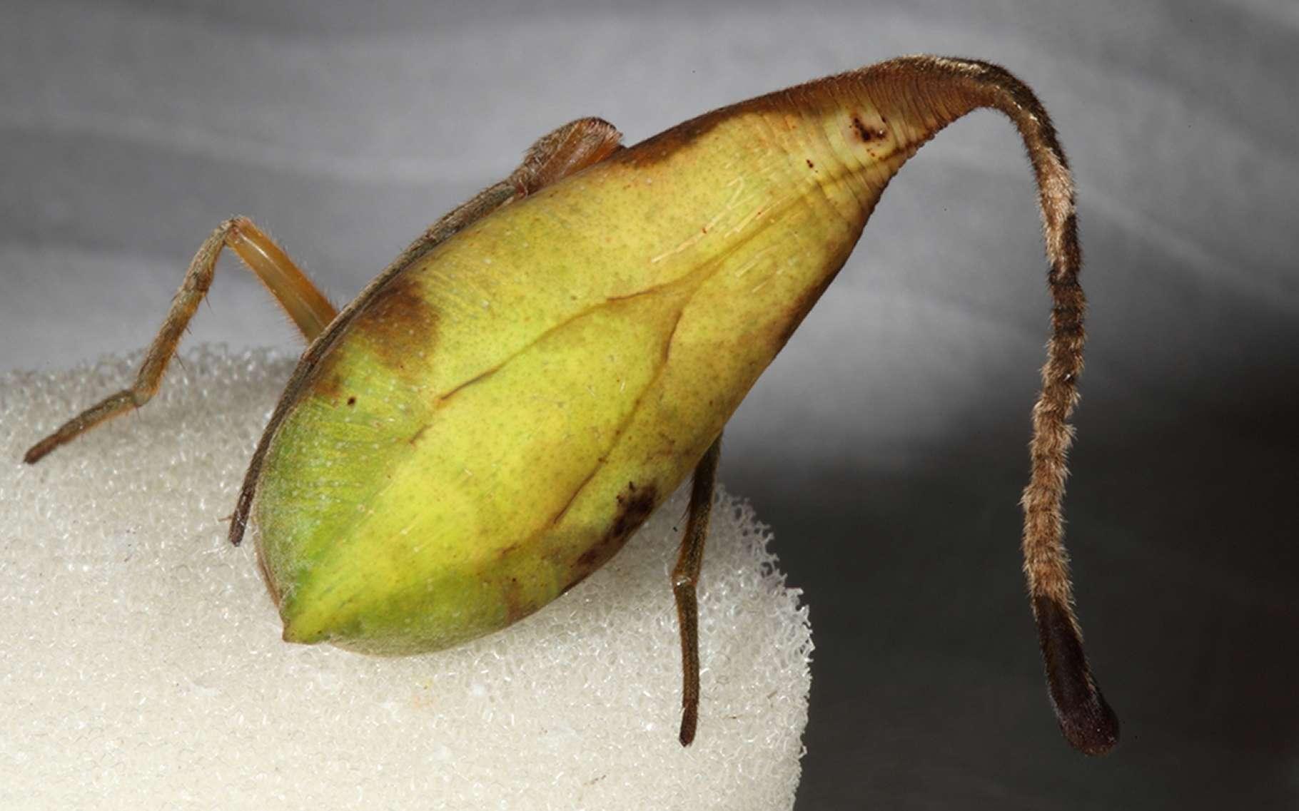 Un beau spécimen de cette araignée du genre Poltys, et d'espèce inconnue. On voit ici sa face ventrale, d'un vert tendre. L'arrière de l'animal est à droite, l'abdomen se prolongeant d'un filament de forme semblable à celle du pétiole, la « jambe » d'une feuille. © Matjaz Kuntner