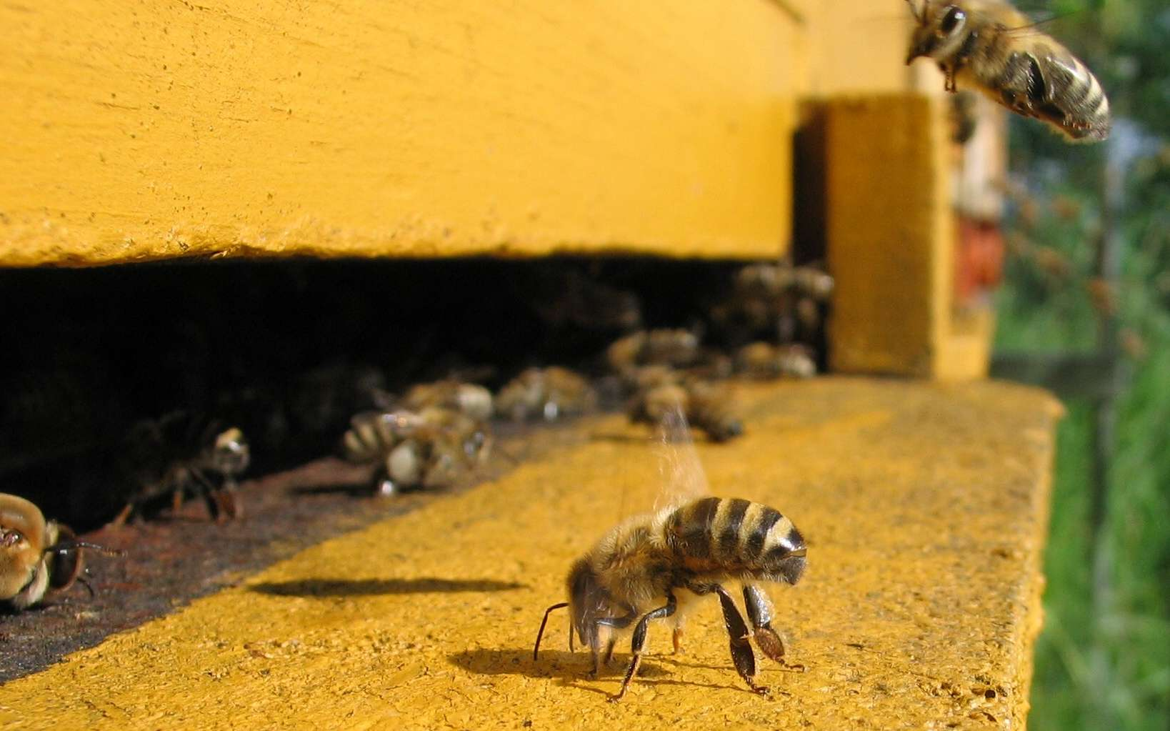 Les gardiennes postées à l'entrée de la ruche assurent la défense de la colonie, une des tâches les plus importantes. © Waugsberg, Wikimedia Commons, CC BY-SA 3.0