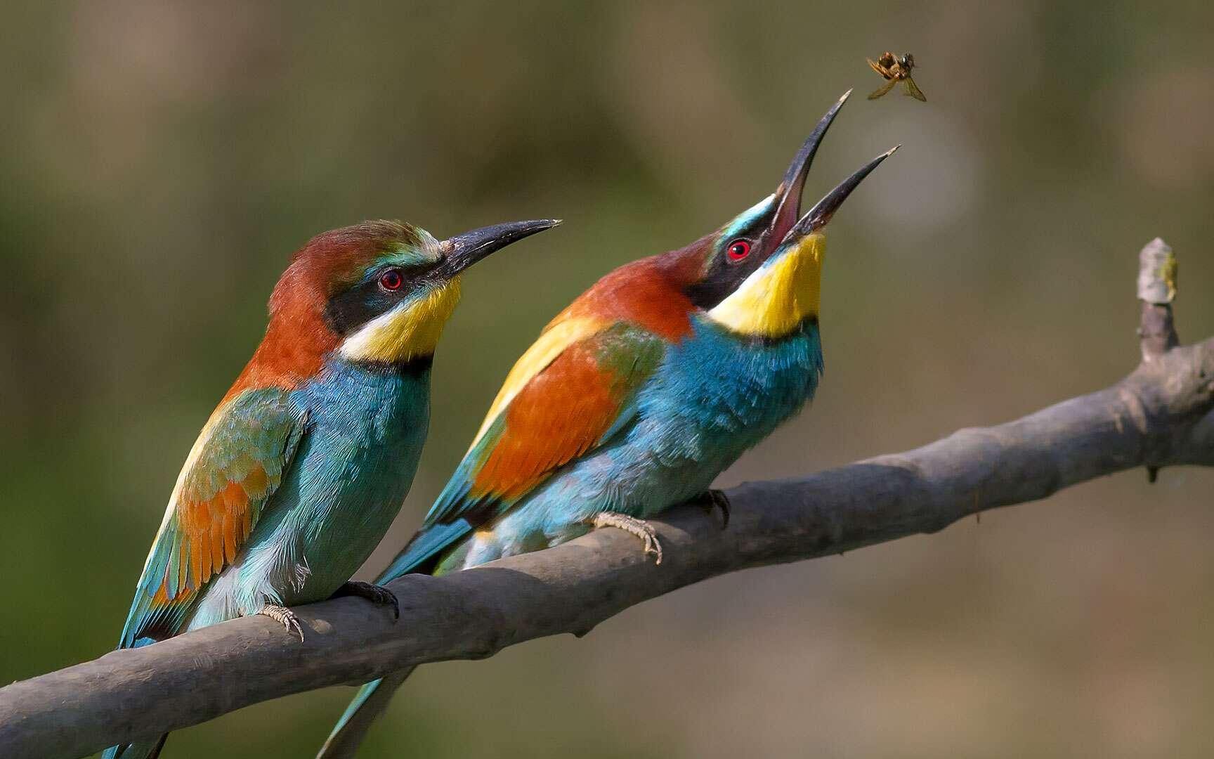 Guêpier d'Europe. Guêpier d'Europe - European Bee-eater - Bienenfresser - Merops apiaster Famille : Meropidae Ordre : Coraciiformes © Pierre Dalous, CC BY-NC 3.0 http://www.eyesonsky.com