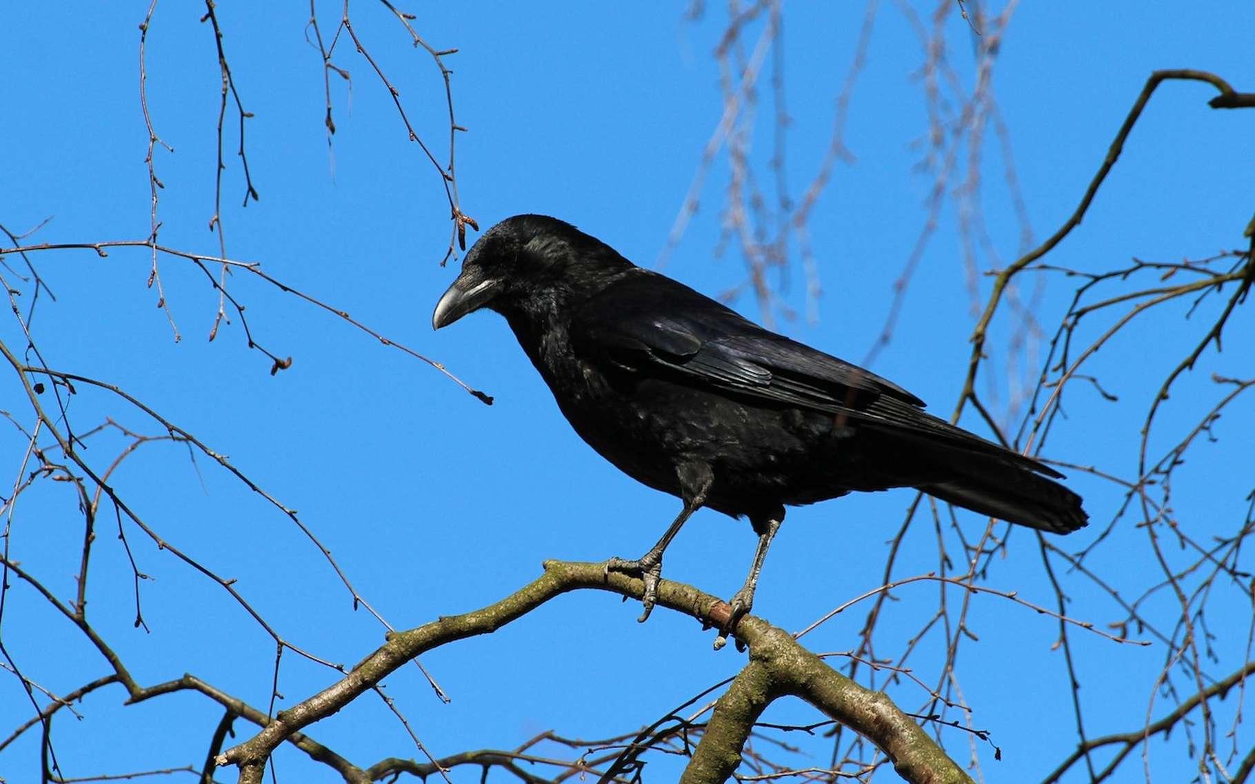 Selon une nouvelle étude, les corbeaux, tout comme les humains et les grands singes, sont capables d'anticiper, de penser au futur. © 127071, Pixabay, DP