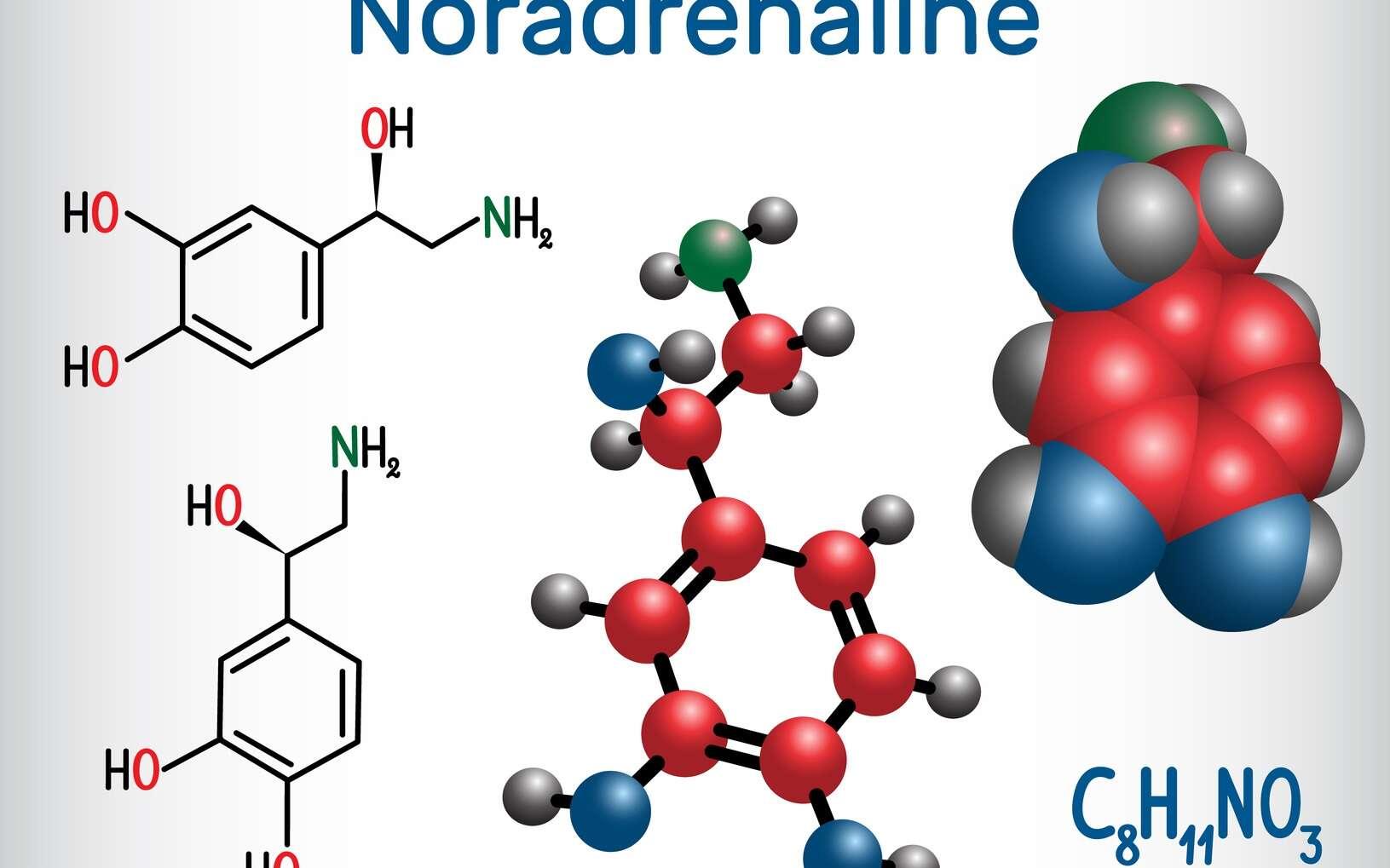 La noradrénaline est une catécholamine. © bacsica, Fotolia