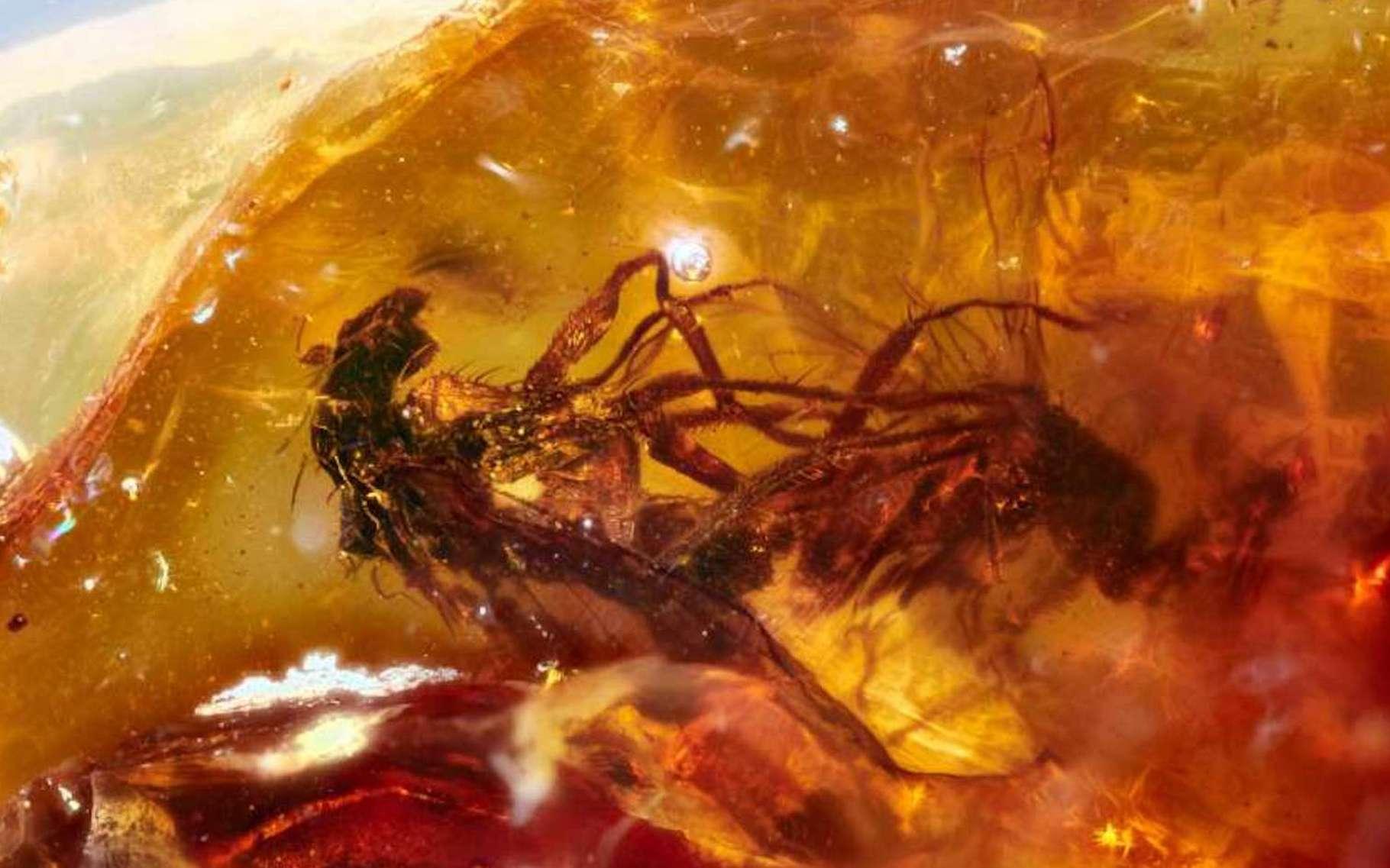 Ces mouches fossilisées en plein accouplement constituent un exemple plutôt rare de « comportement gelé » dans de l'ambre. Possiblement le tout premier trouvé en Australie. © Jeffrey Stilwell, Université Monash